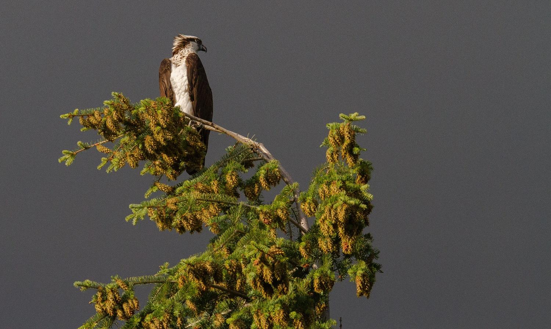 Osprey by Lawrence Splitter