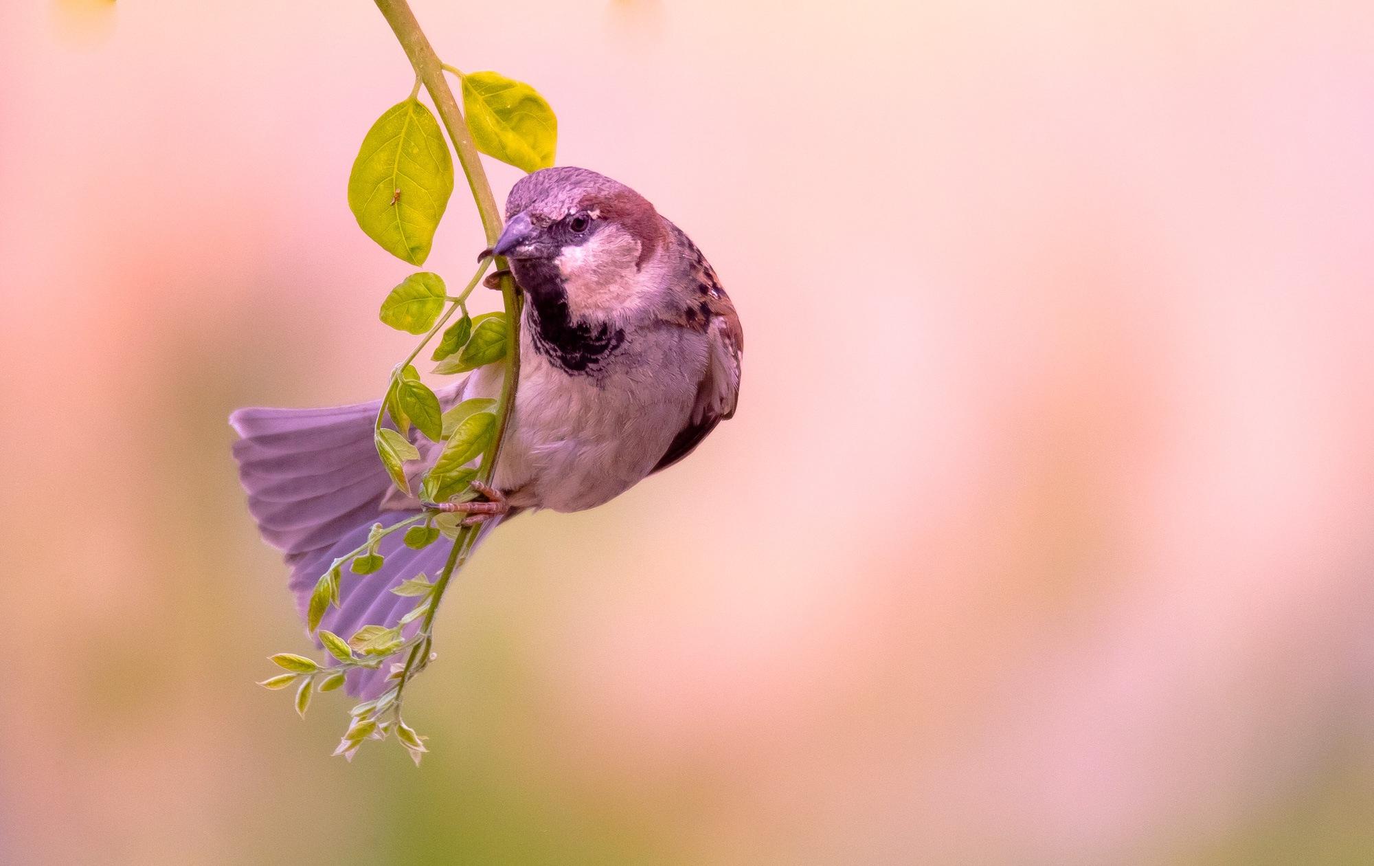 Sparrow by Lawrence Splitter