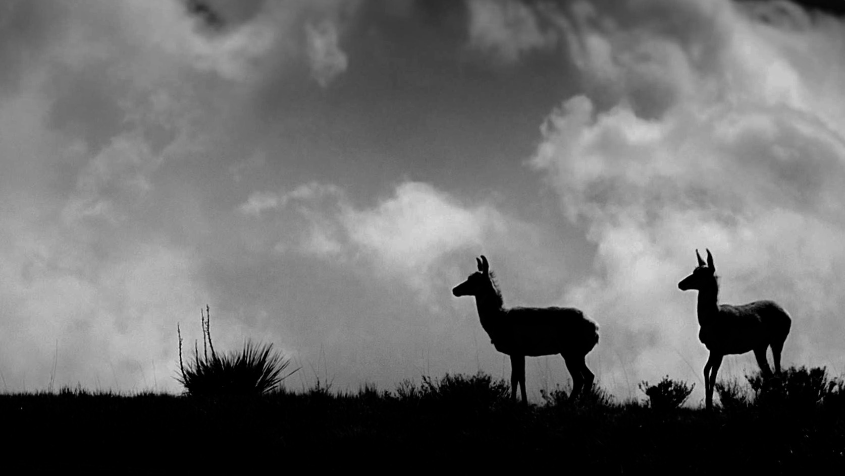 Pronghorn silhouettes  by Lawrence Splitter