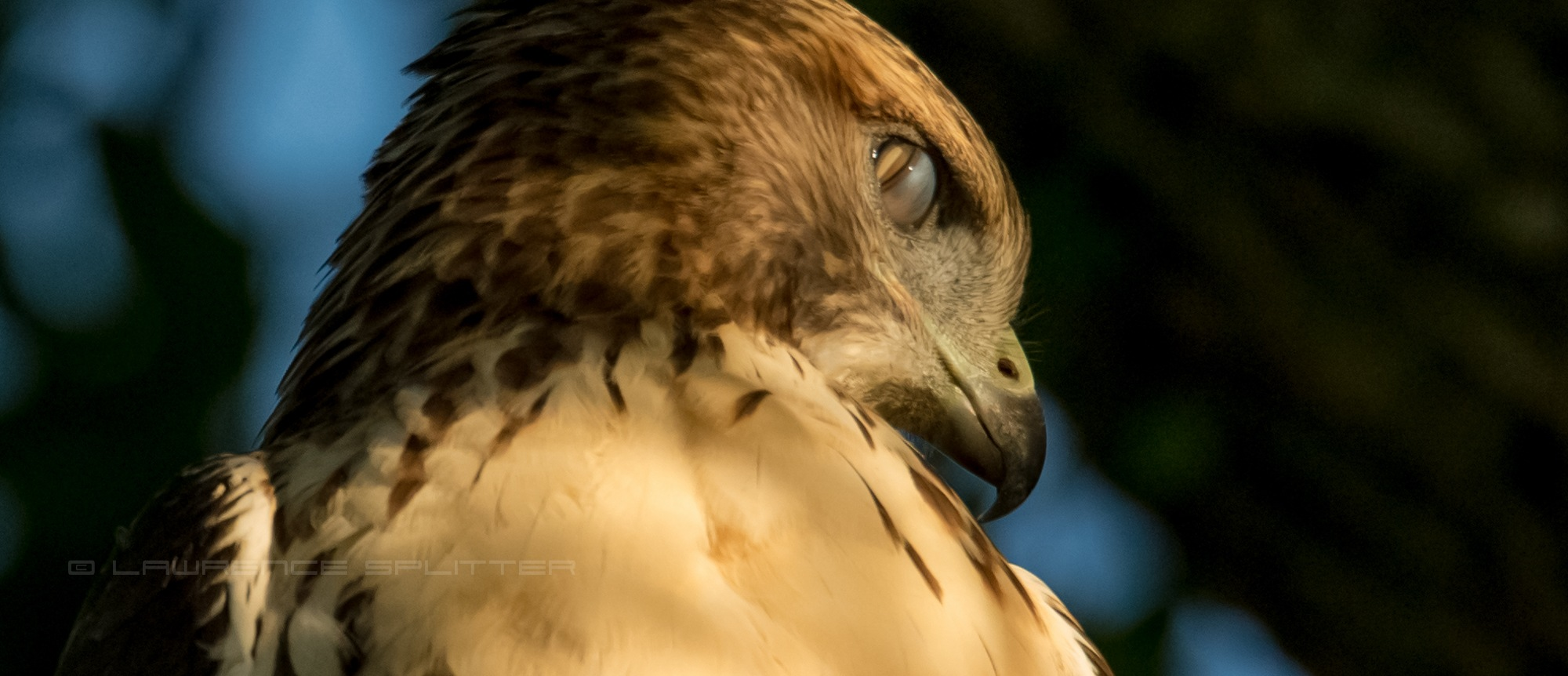 Red Tail Hawk displaying nictitating membrane by Lawrence Splitter