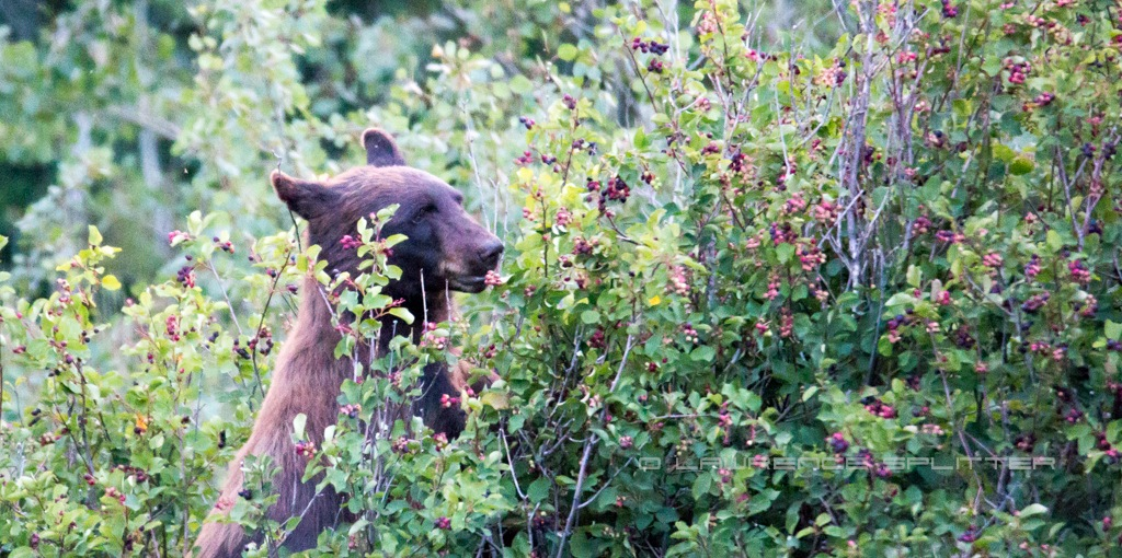 Looking for berries by Lawrence Splitter