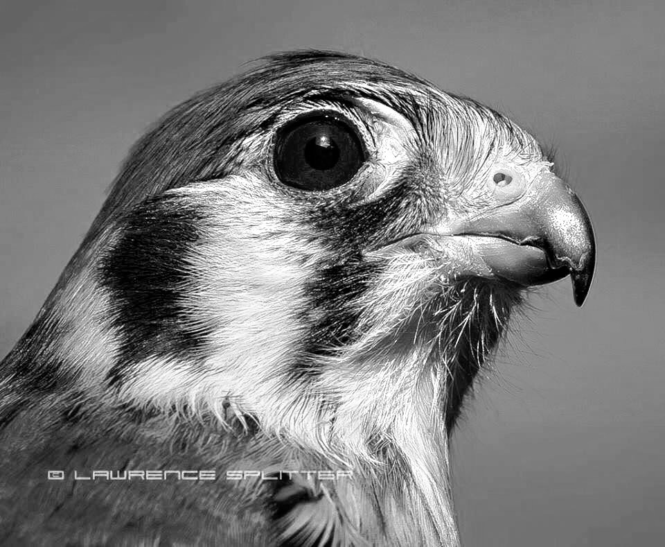 Captive Kestrel portrait by Lawrence Splitter
