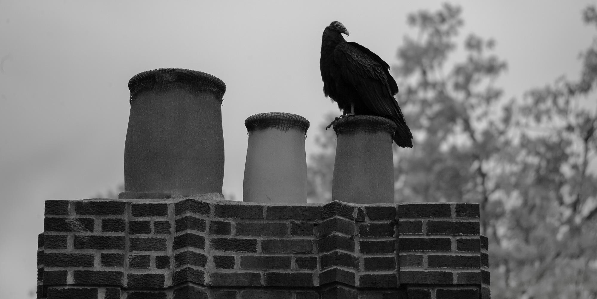 Turkey Vulture on chimney stack by Lawrence Splitter