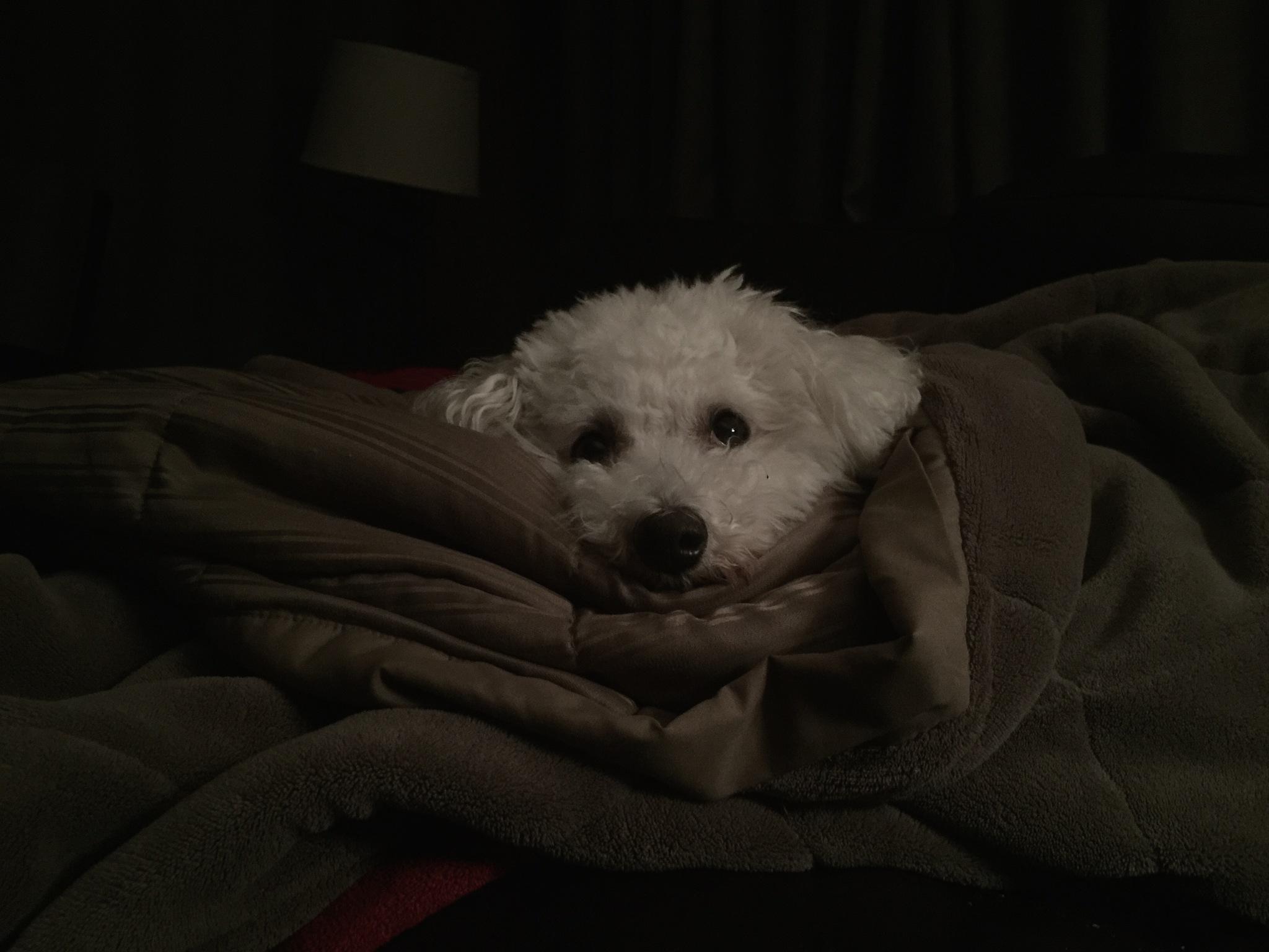 Dog in a blanket by Lawrence Splitter