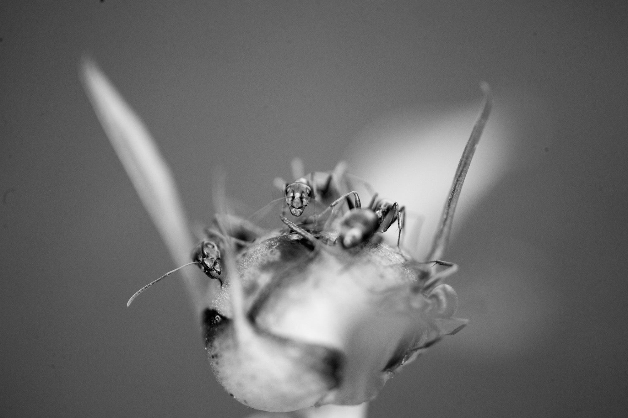 Peony bulb by Lawrence Splitter