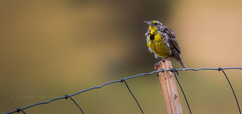 Fledged Meadowlark by Lawrence Splitter
