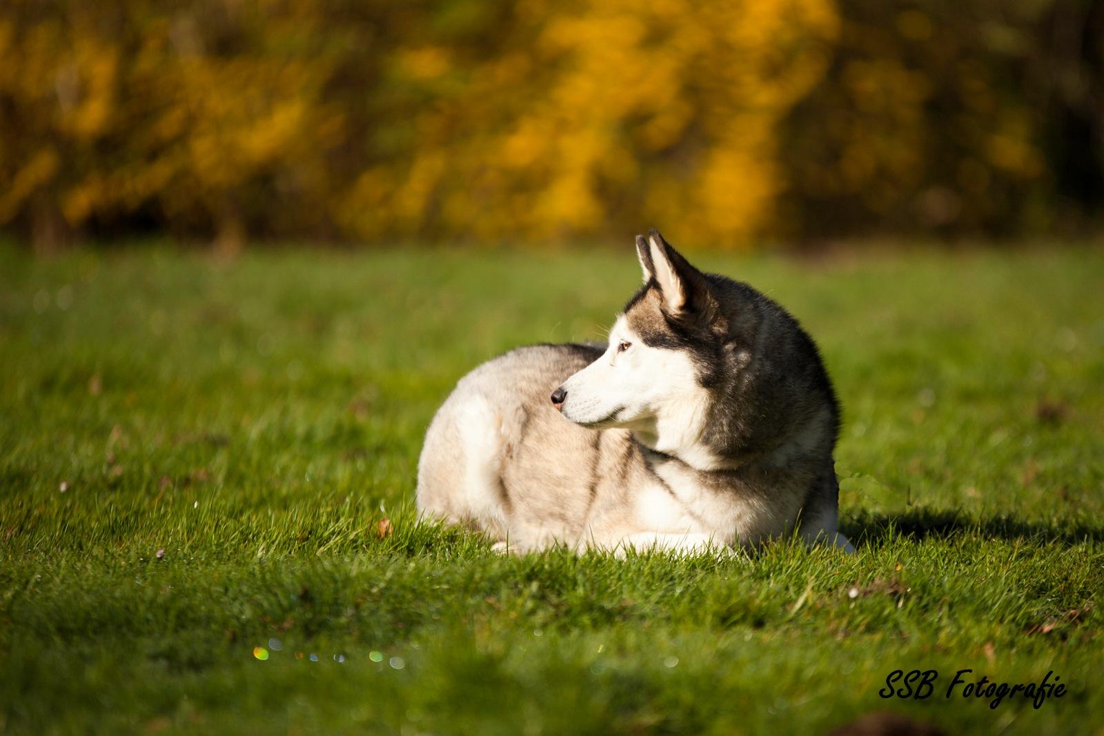 Husky by Samantha Beeke