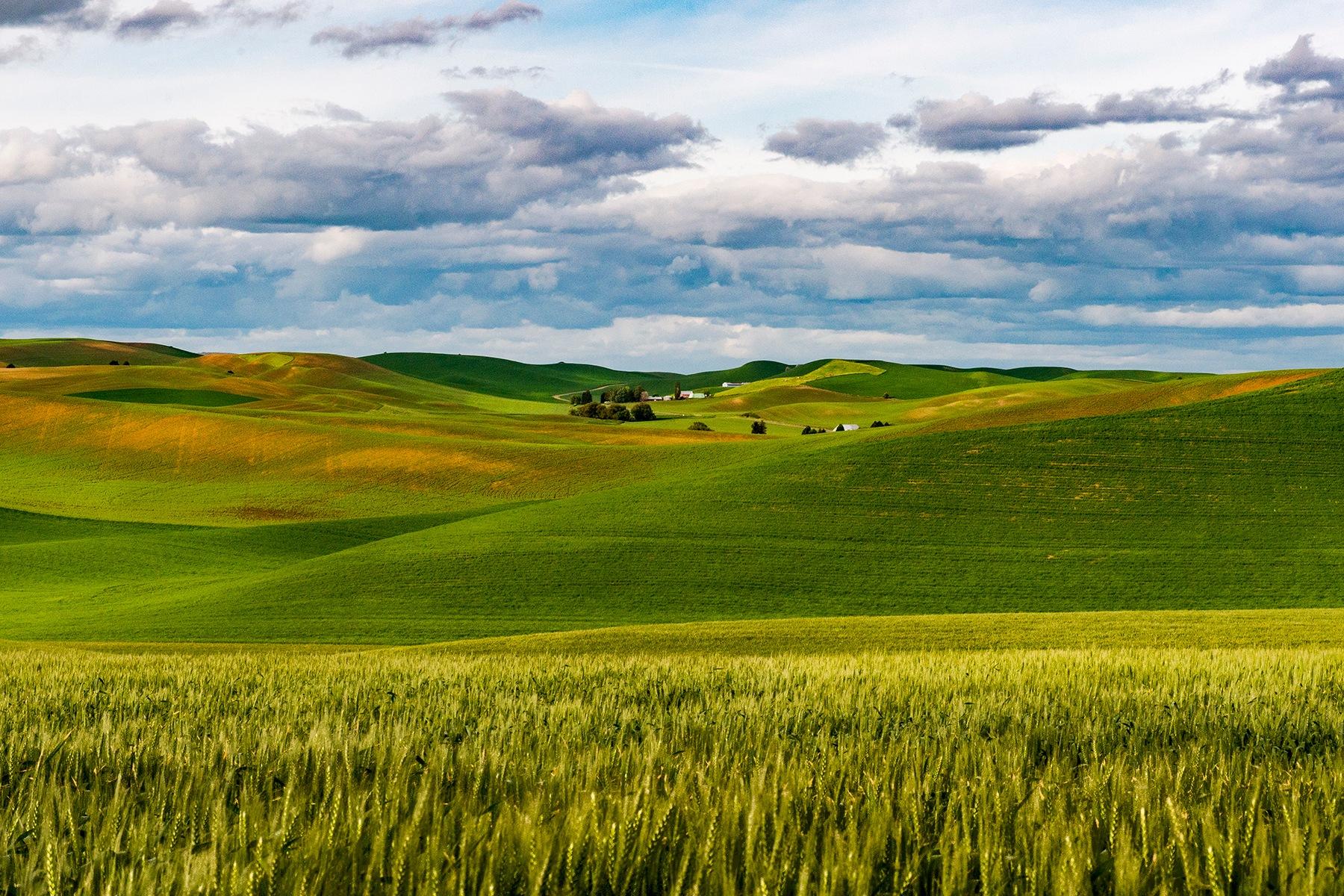 Palouse Spring Wheat by markj