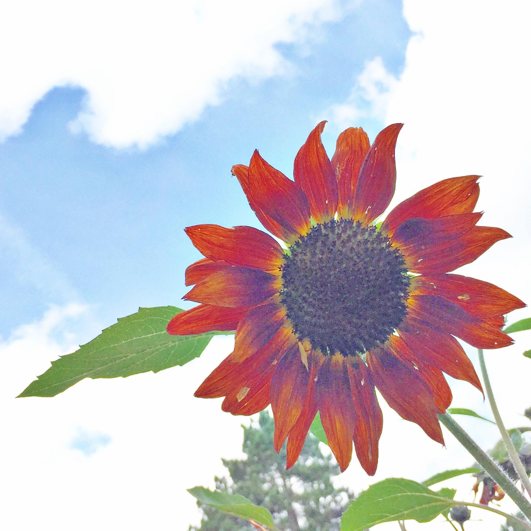 Sunflower  by racheleb