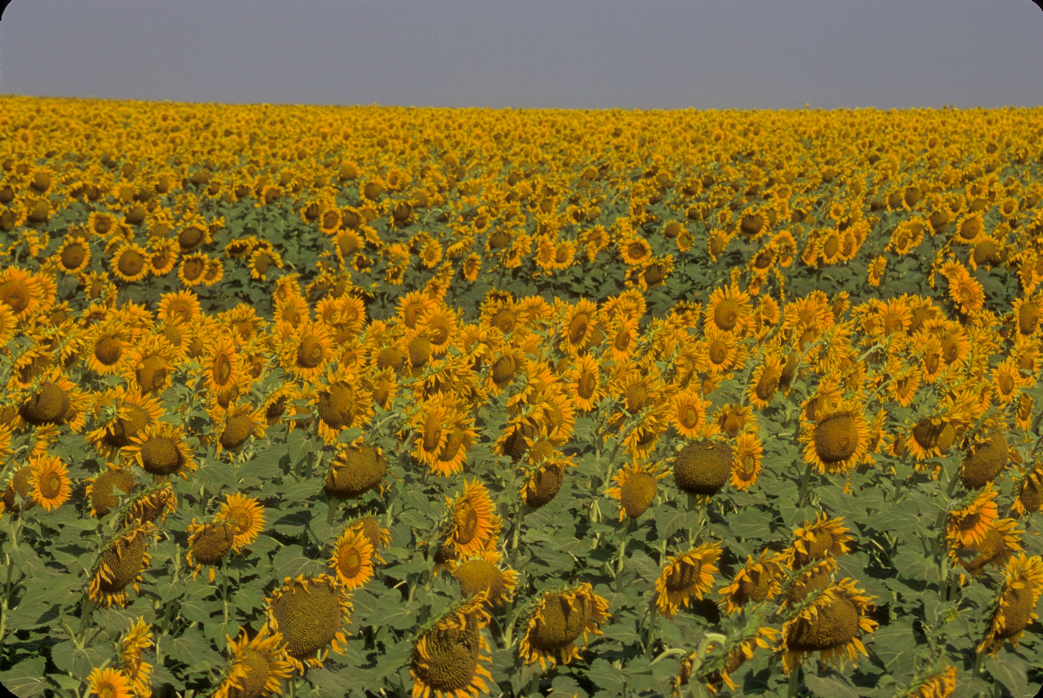 Field of Yellow by fish1475
