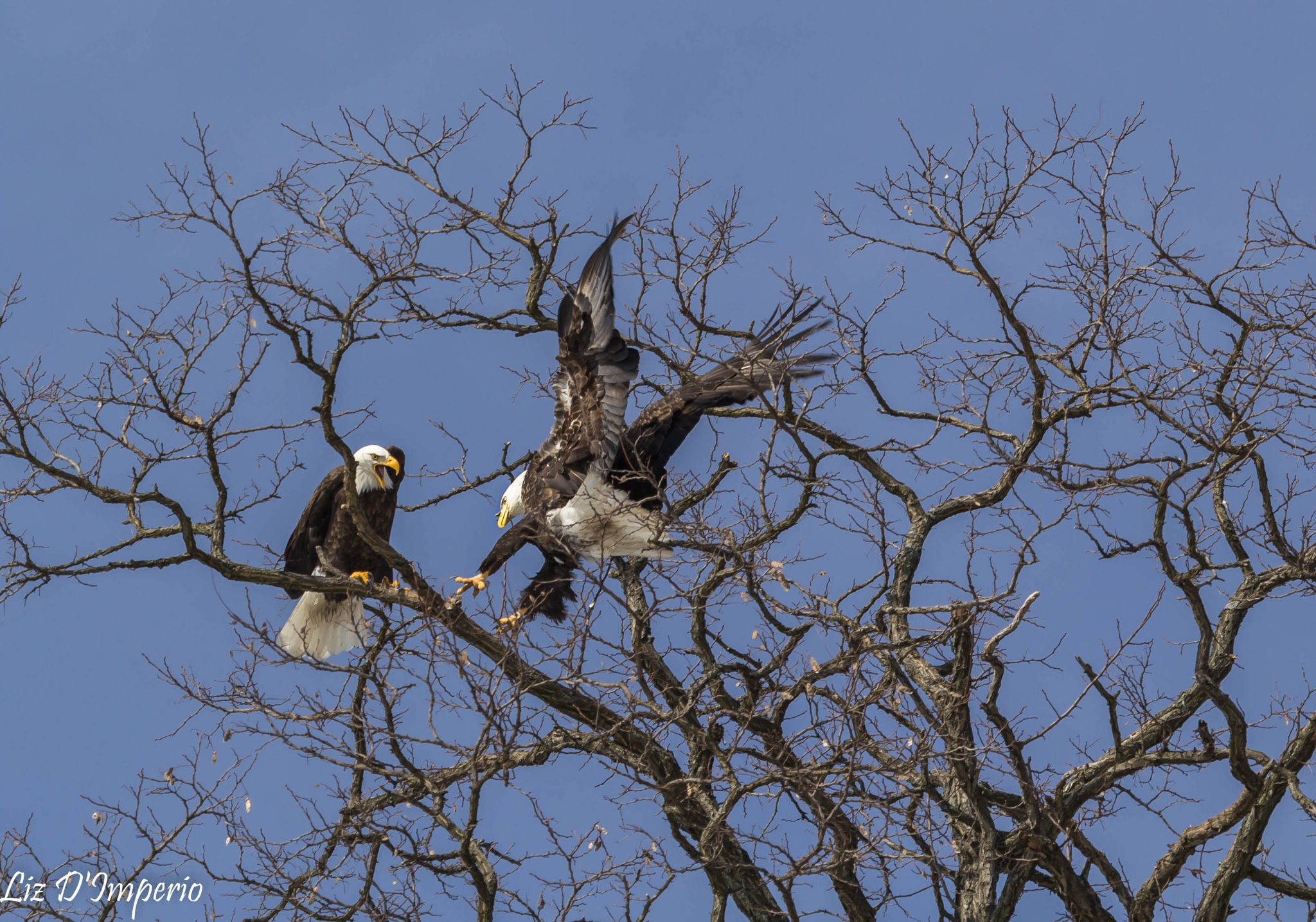 Bald Eagles on the Hudson River by Liz D'Imperio