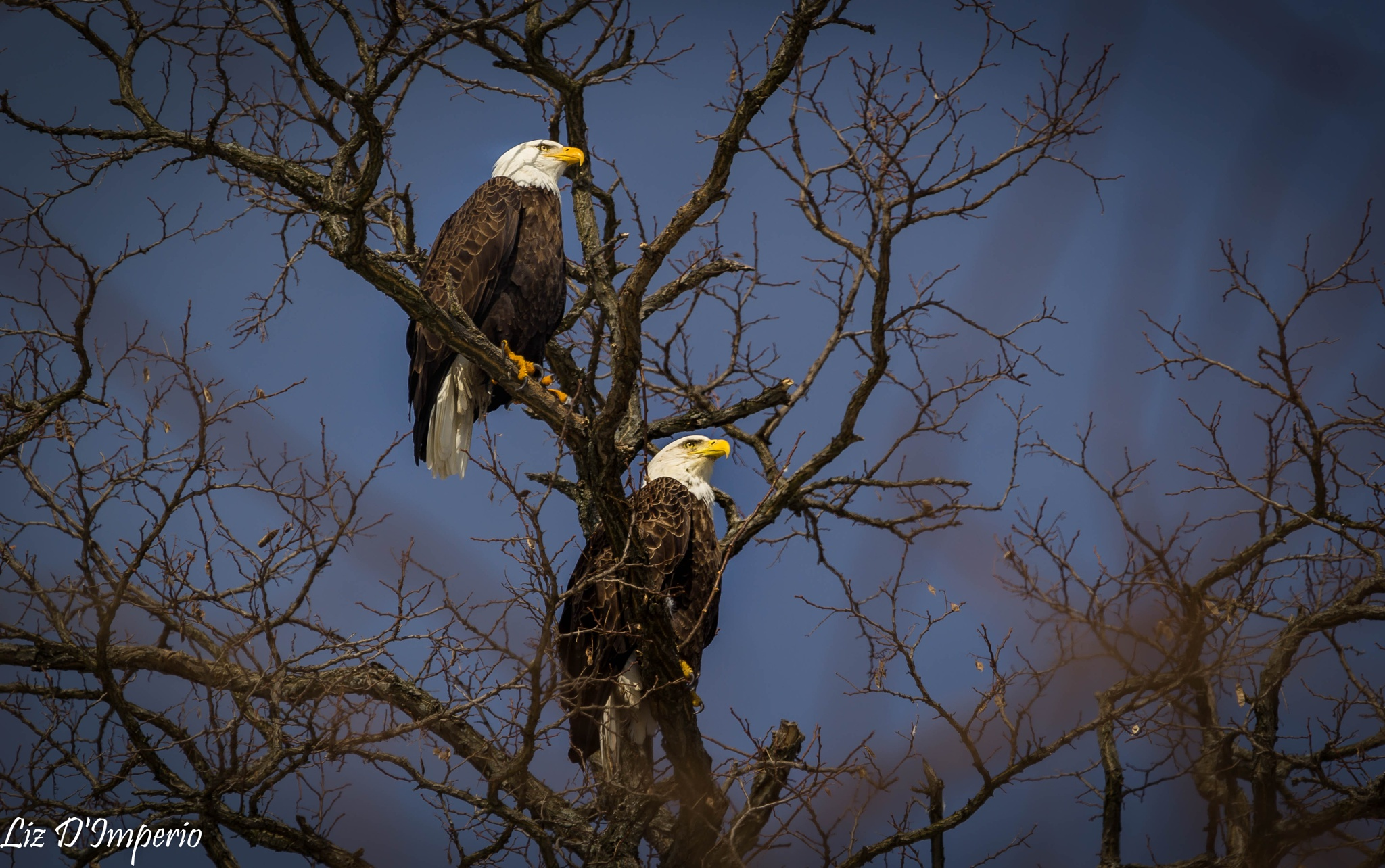 Bald Eagles looking over Hudson River by Liz D'Imperio