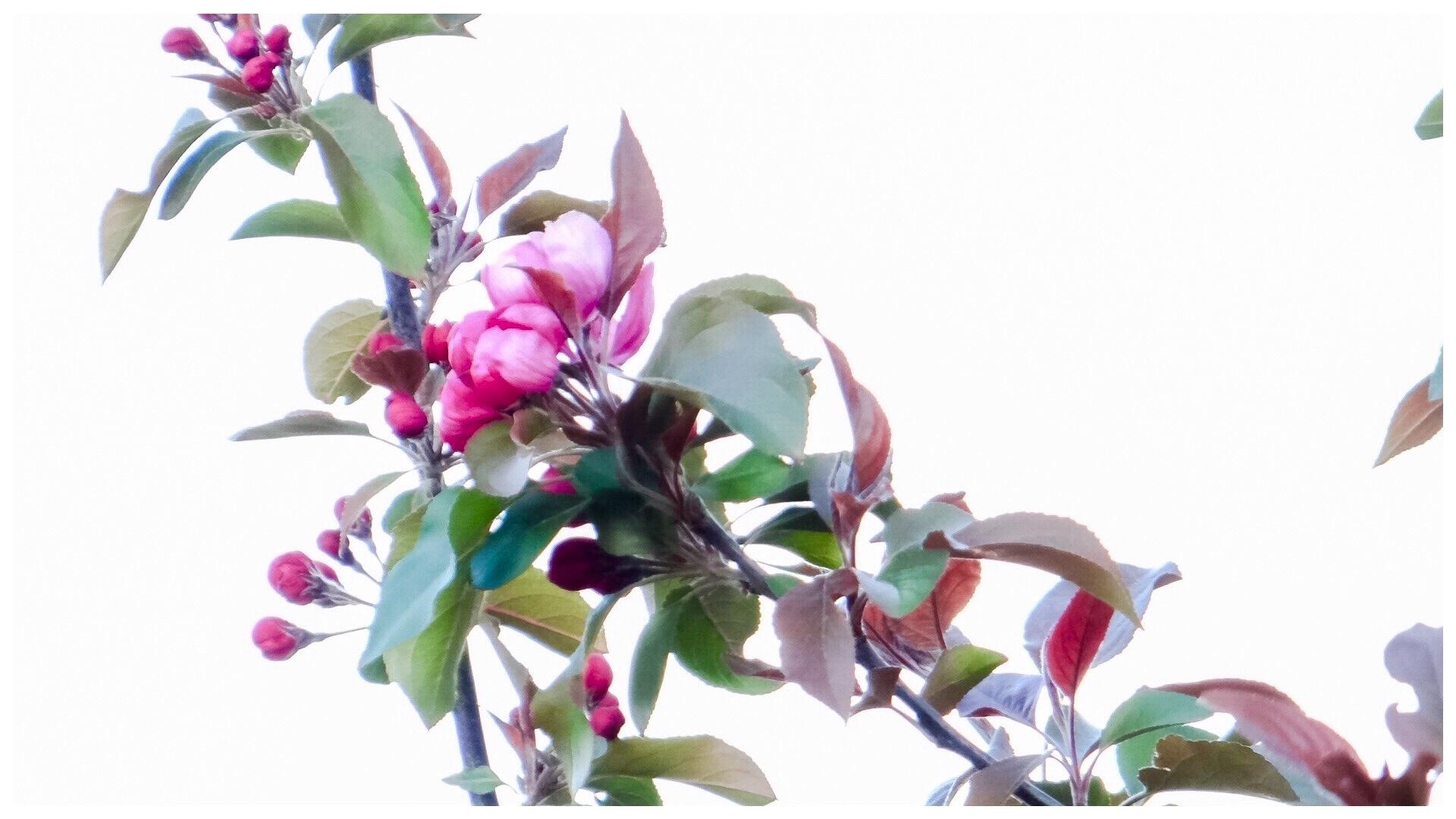 Crabapple tree blossoms by Brenda Boisvert