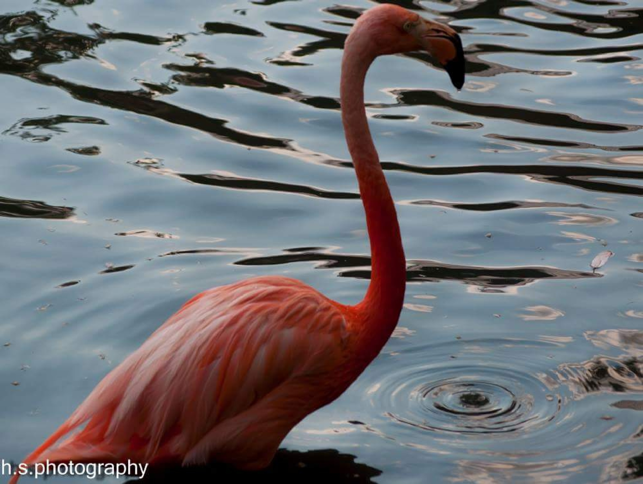 pink flamingo  by Helen Seaver(h.s. photography )