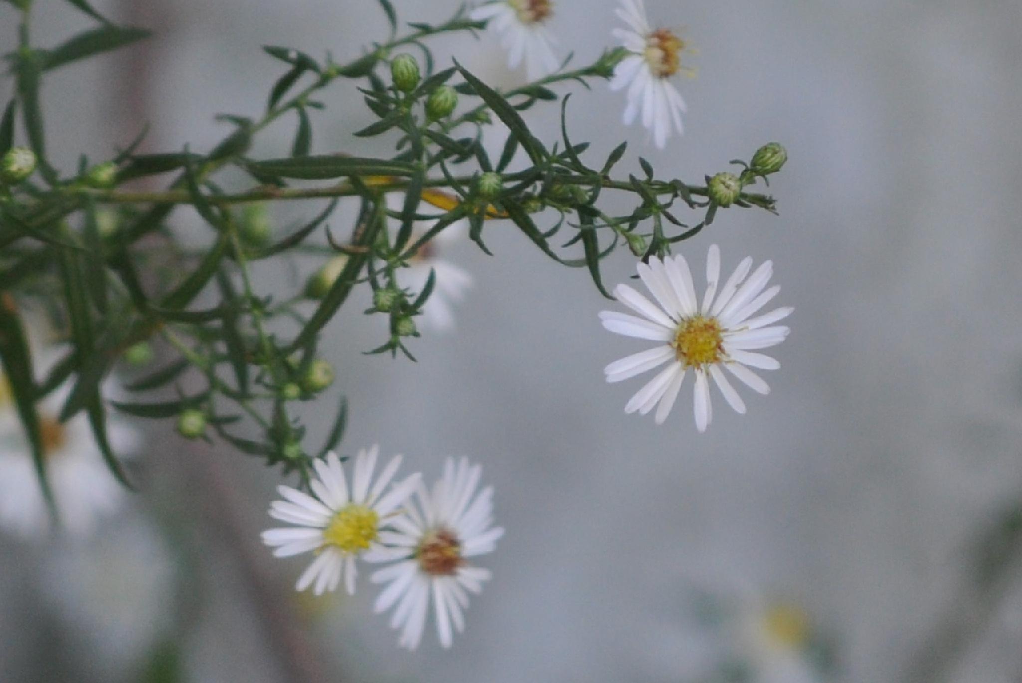 Daisy daisy  by Helen Seaver(h.s. photography )