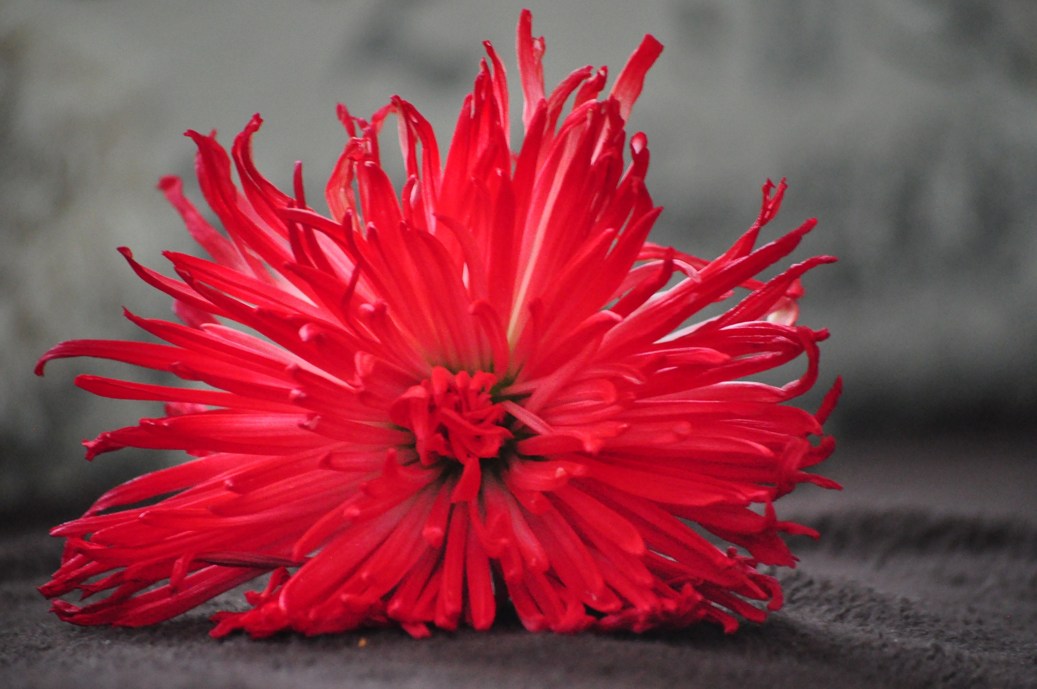 bright of red  by Helen Seaver(h.s. photography )