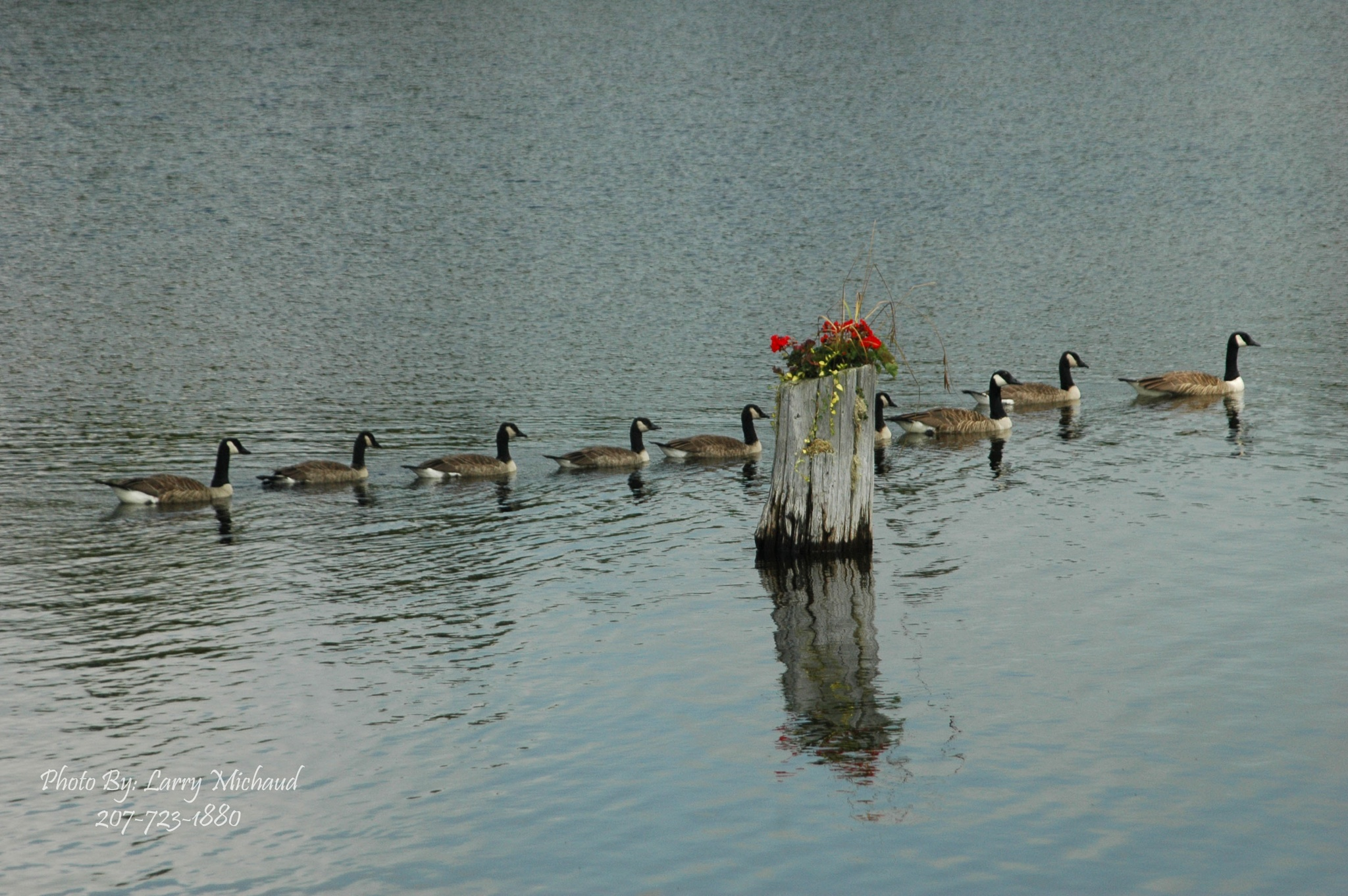 Canadian Geese and Flowers by Larry