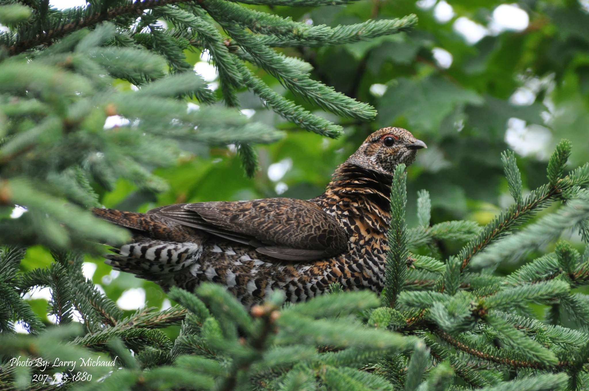 Spruce Grouse by Larry