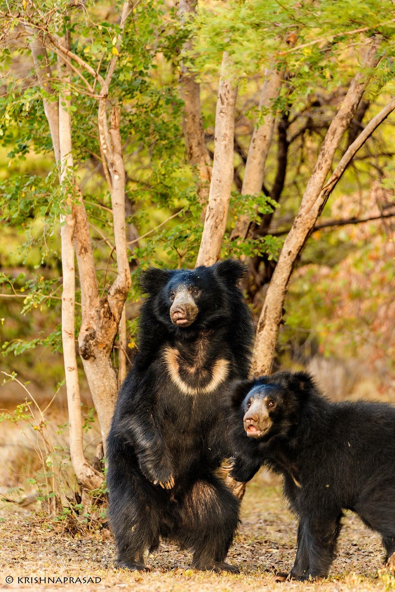 Bear with Us by Krishna
