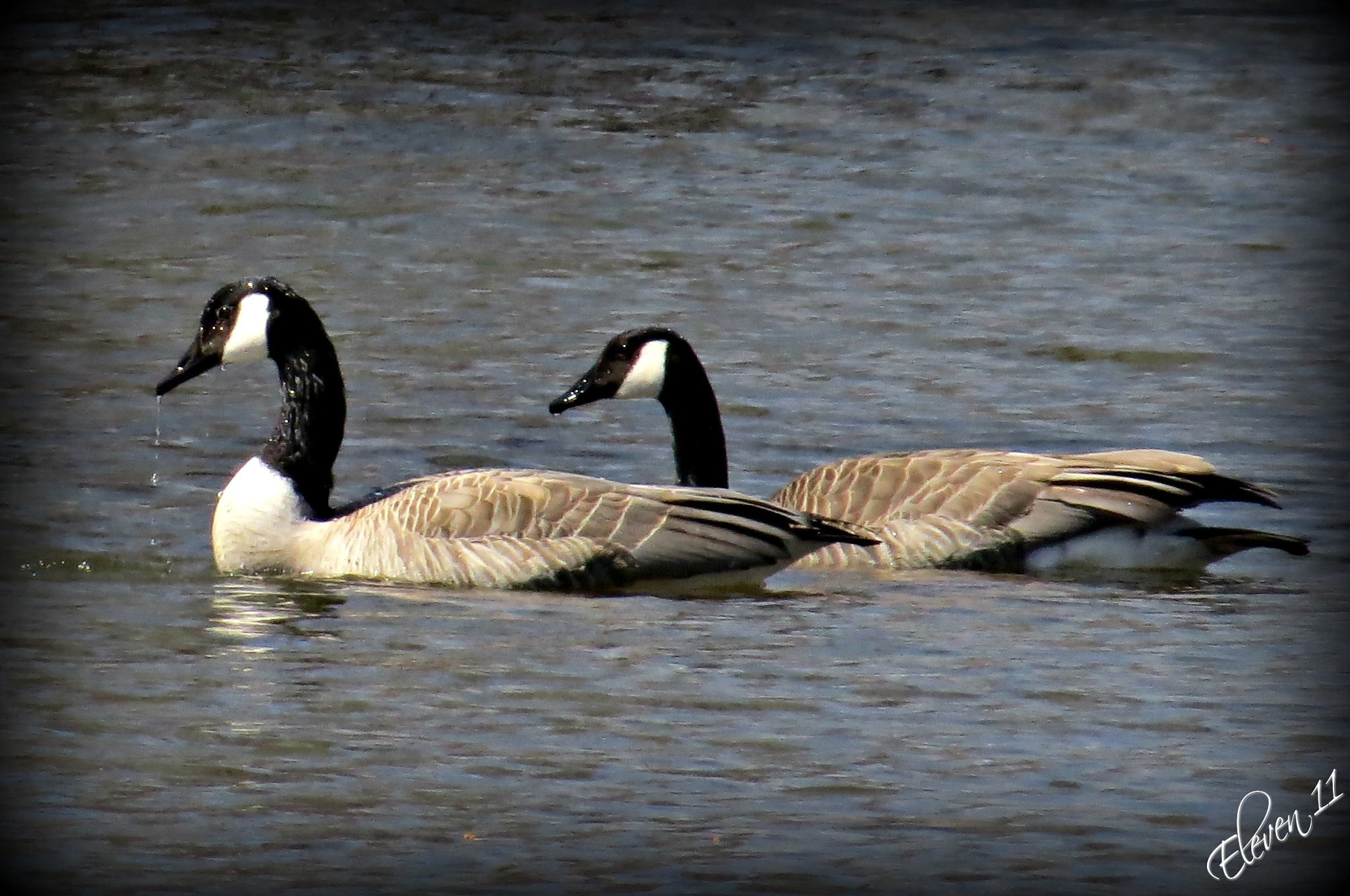 Geese by eleven 11