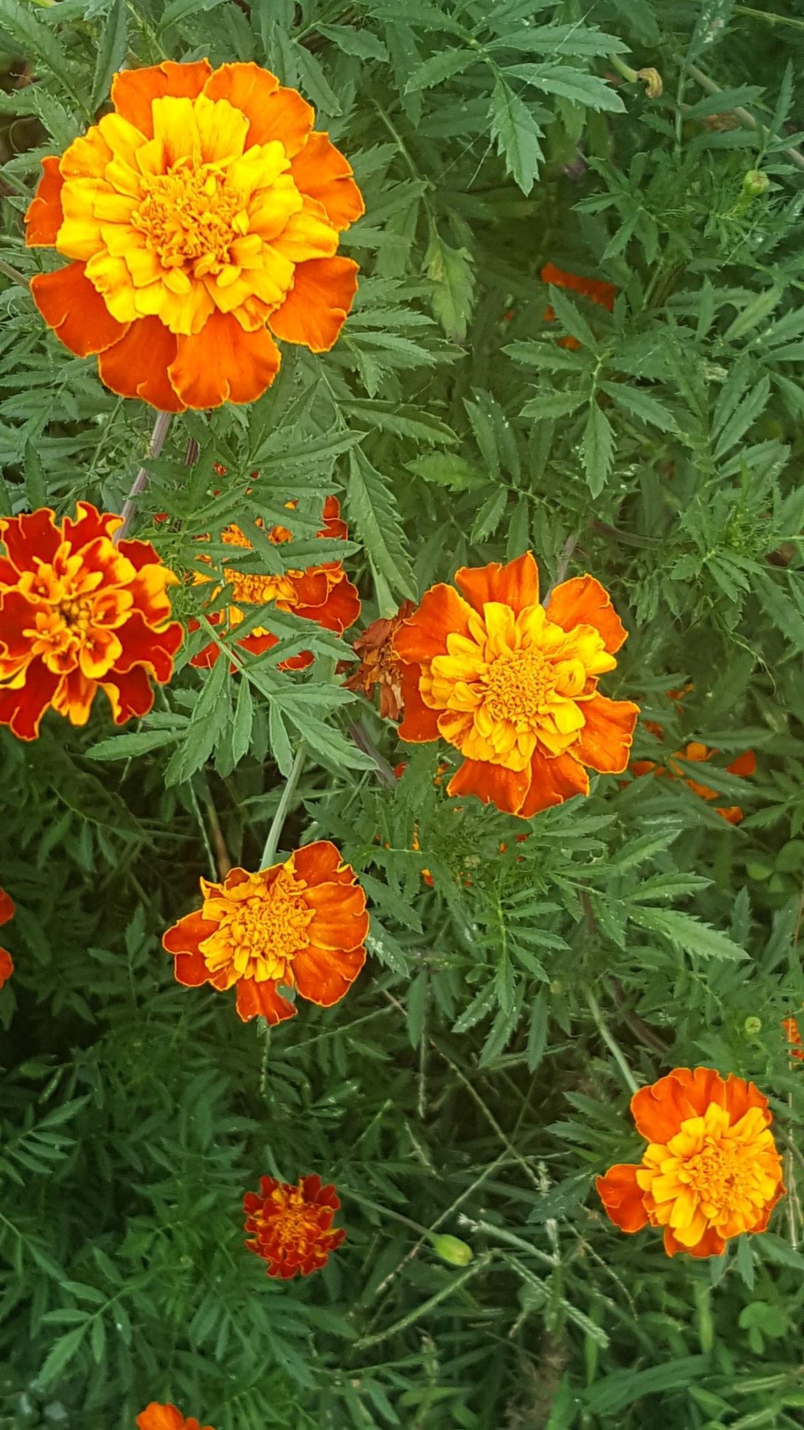 marigold by Sheila Hyden