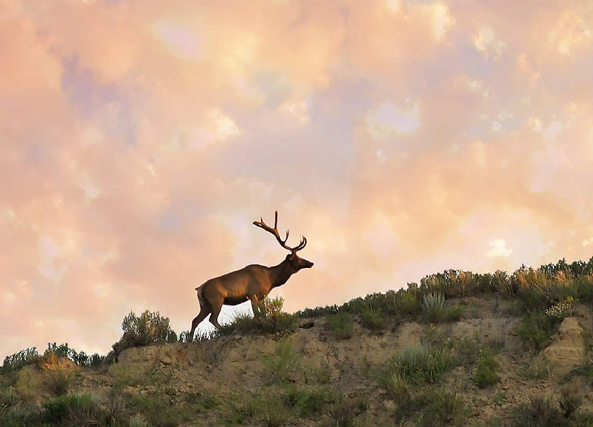 elk in Montana  by mistyblue416