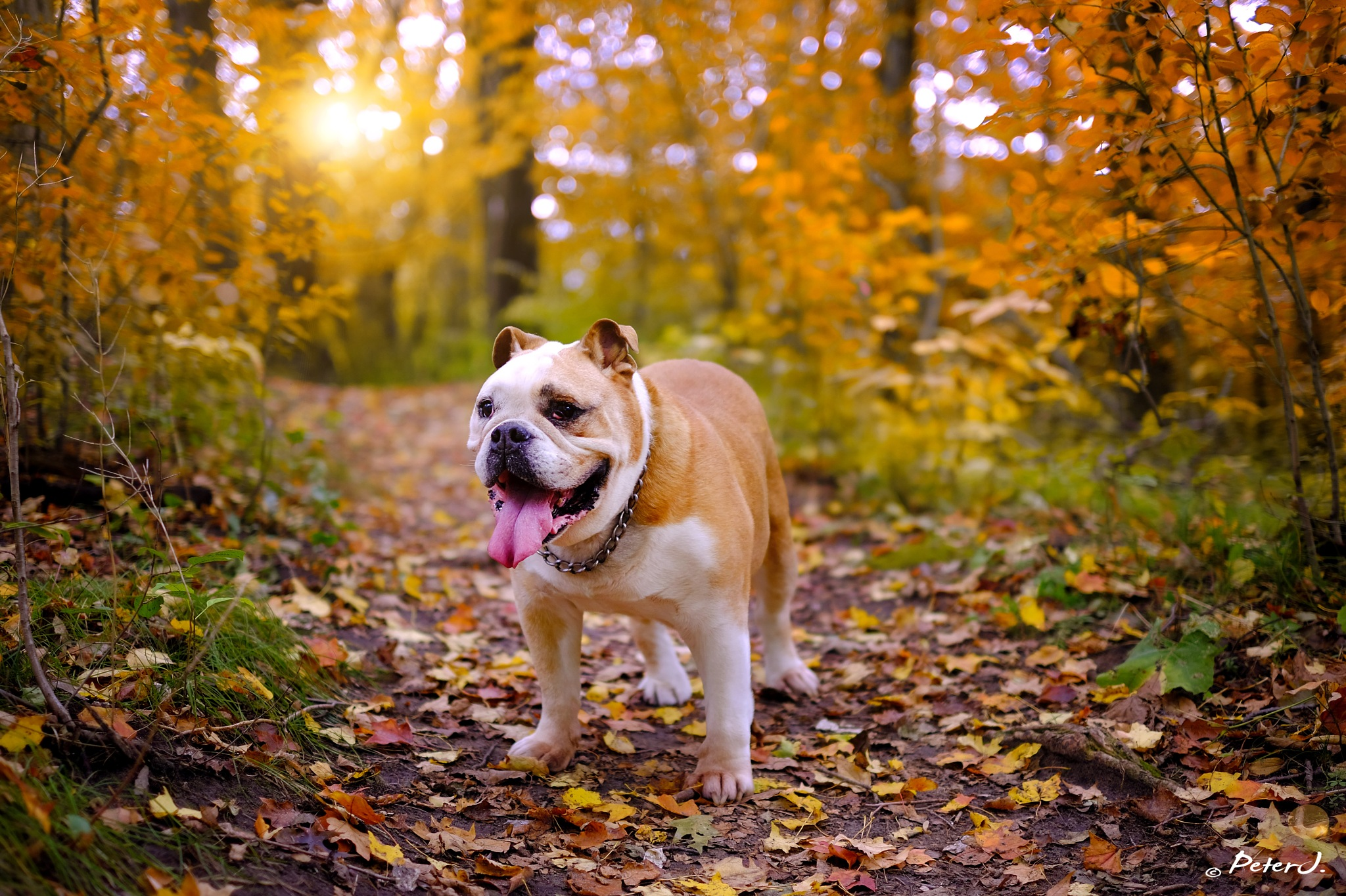 autumn bulldog by peterj