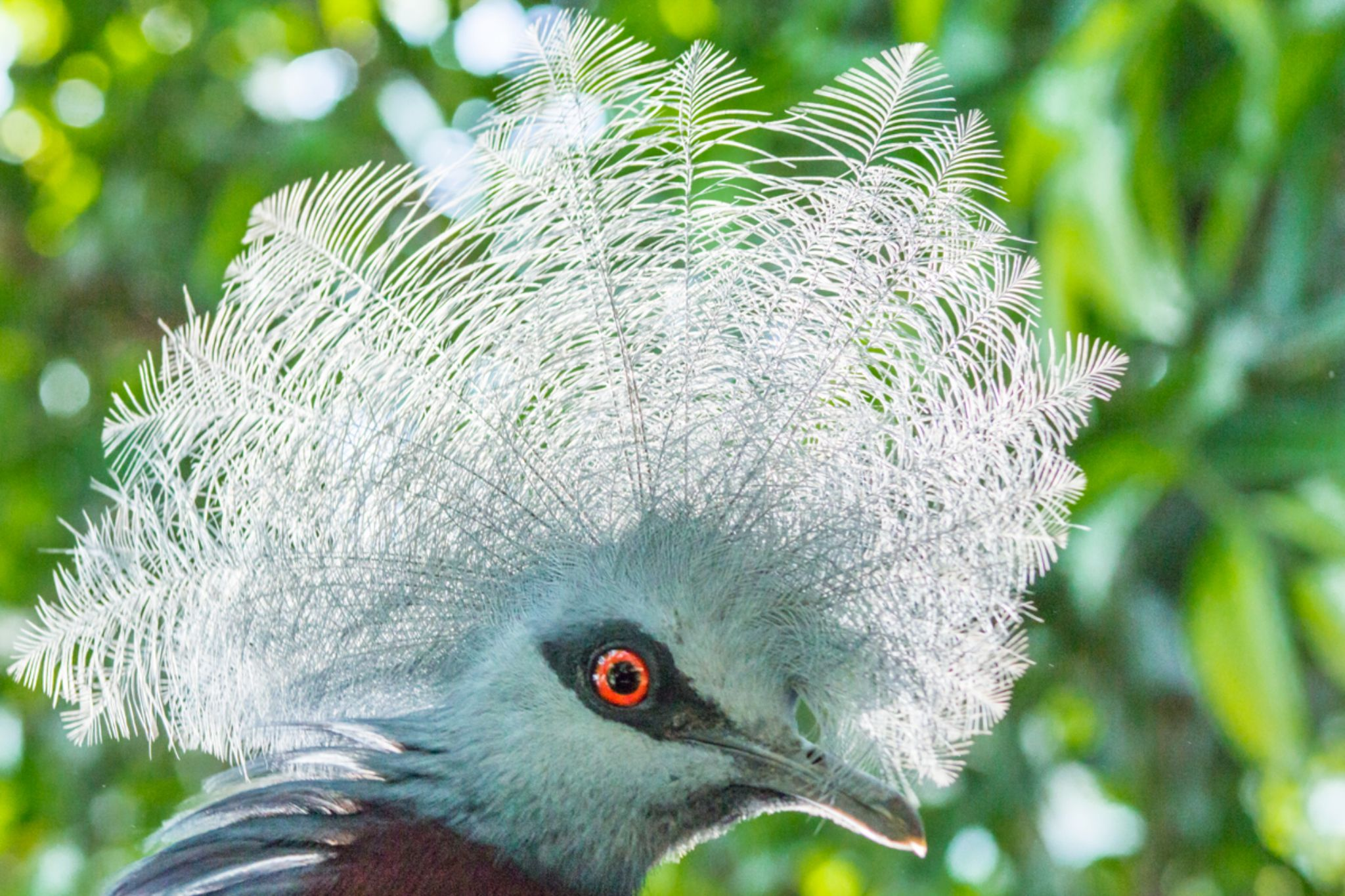 Southern Crowned Pigeon by Ohlee