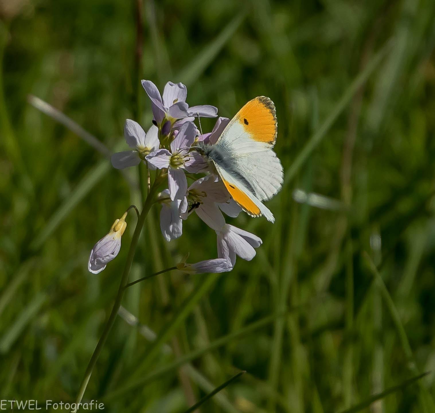 Het oranjetipje (Anthocharis cardamines). by ETWEL