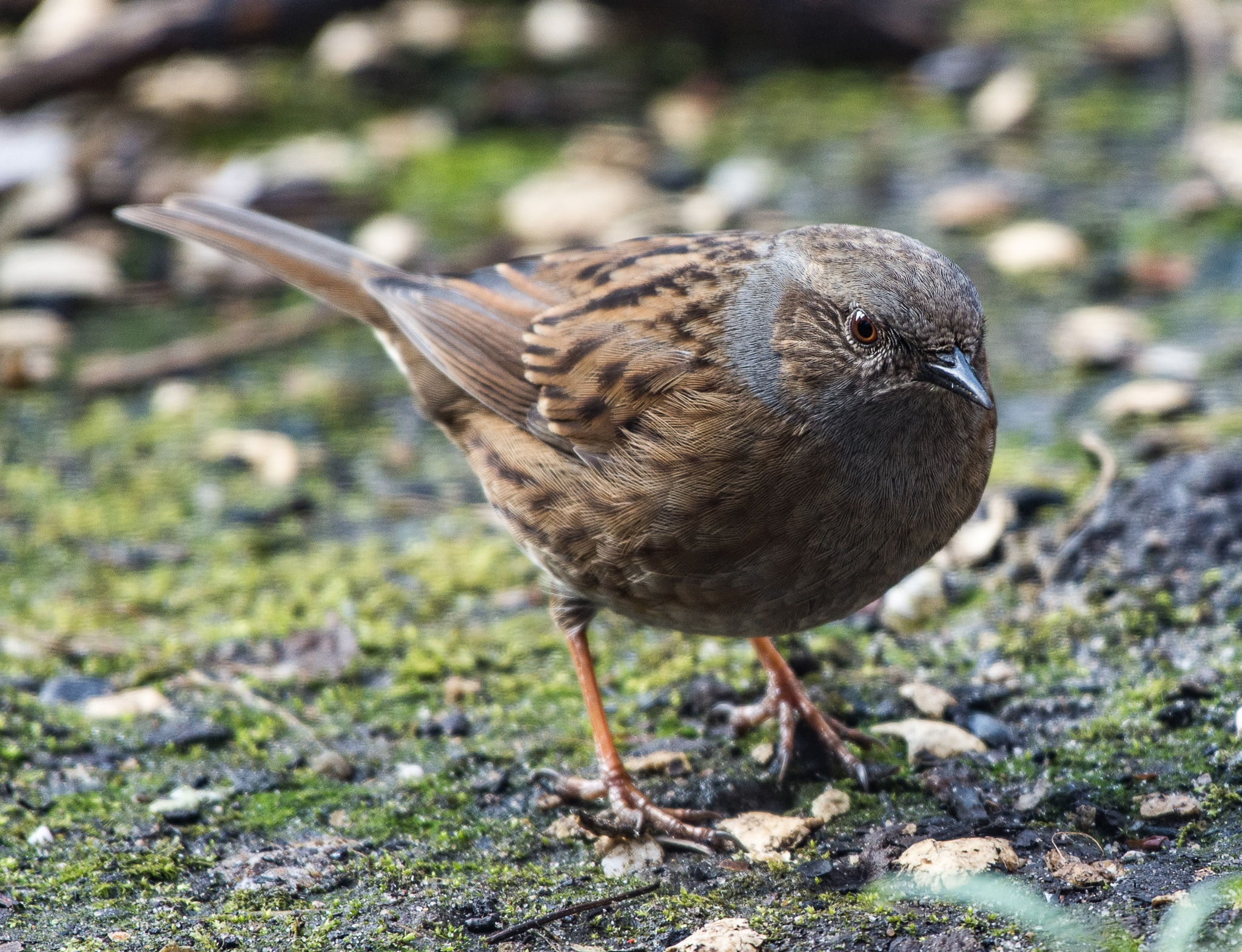 Hedge sparrow by ETWEL