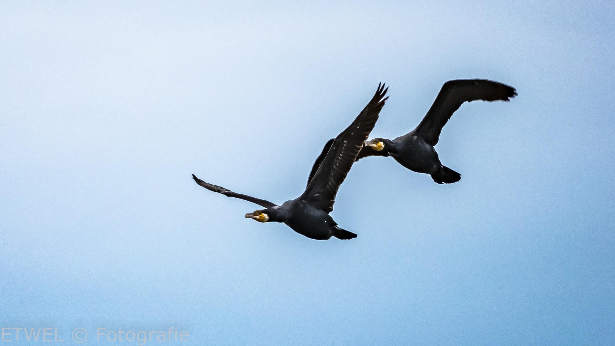 Cormorants by        ETWEL © Fotografie