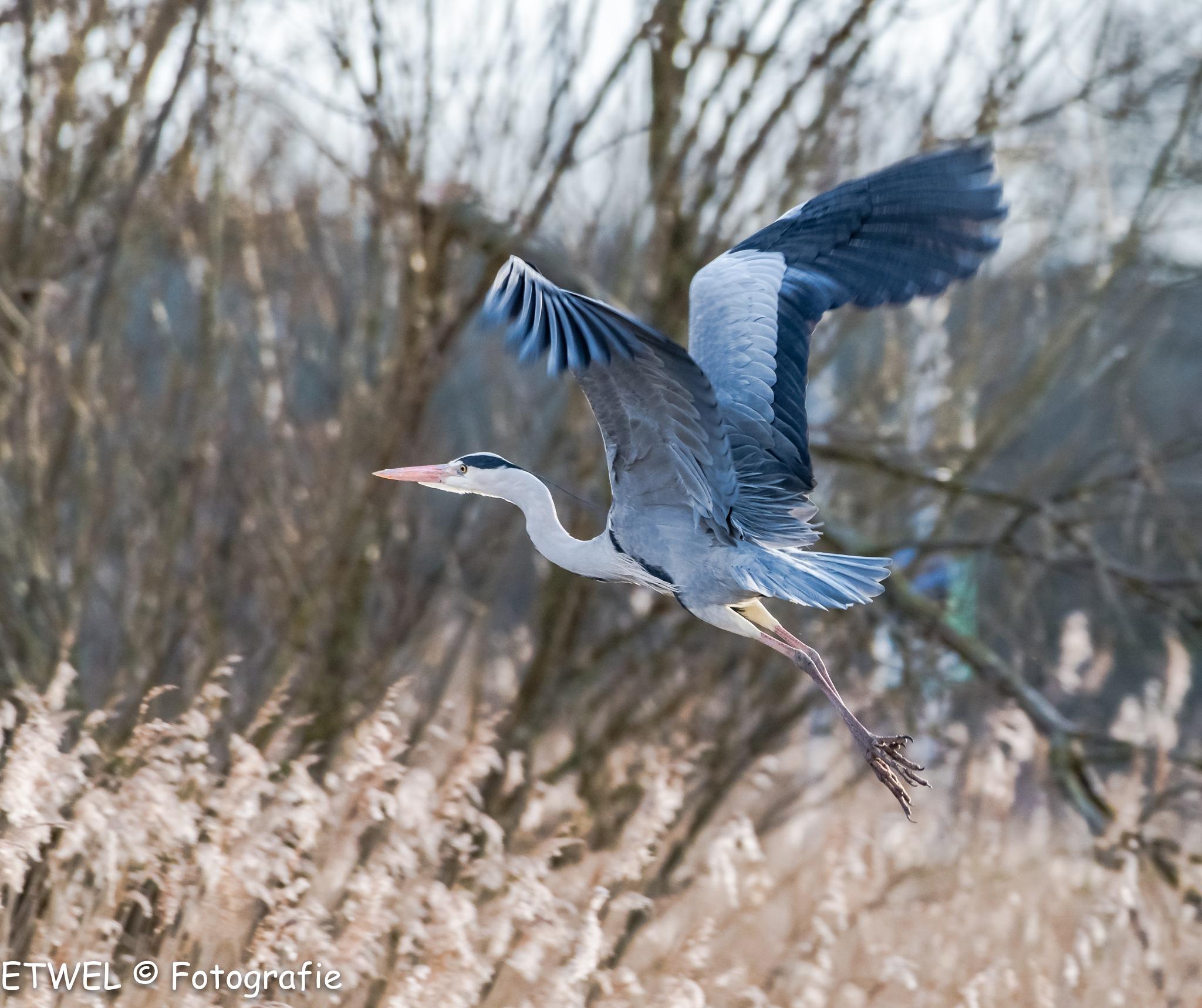 Heron by        ETWEL © Fotografie