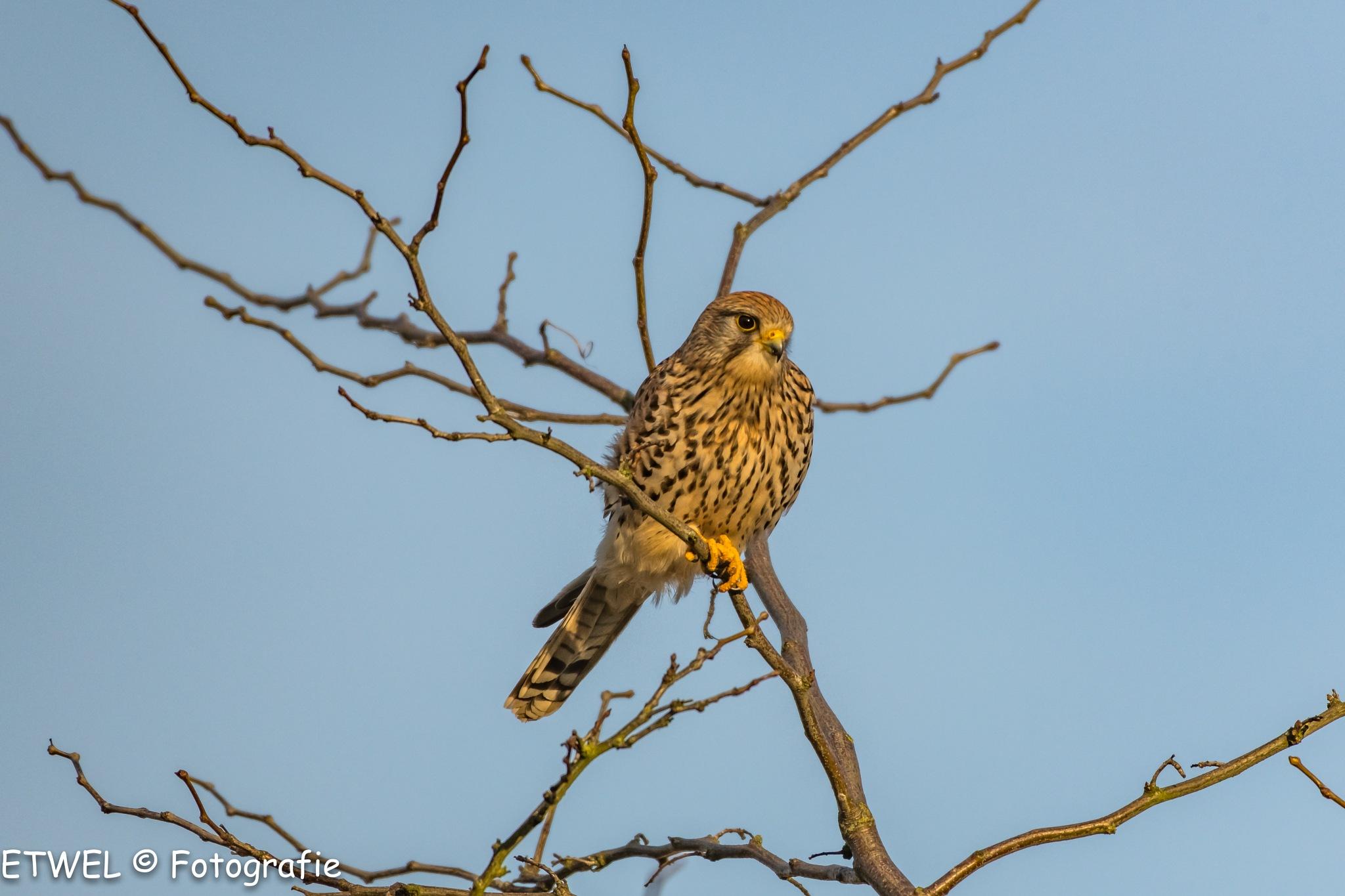 Falcon lady by        ETWEL © Fotografie