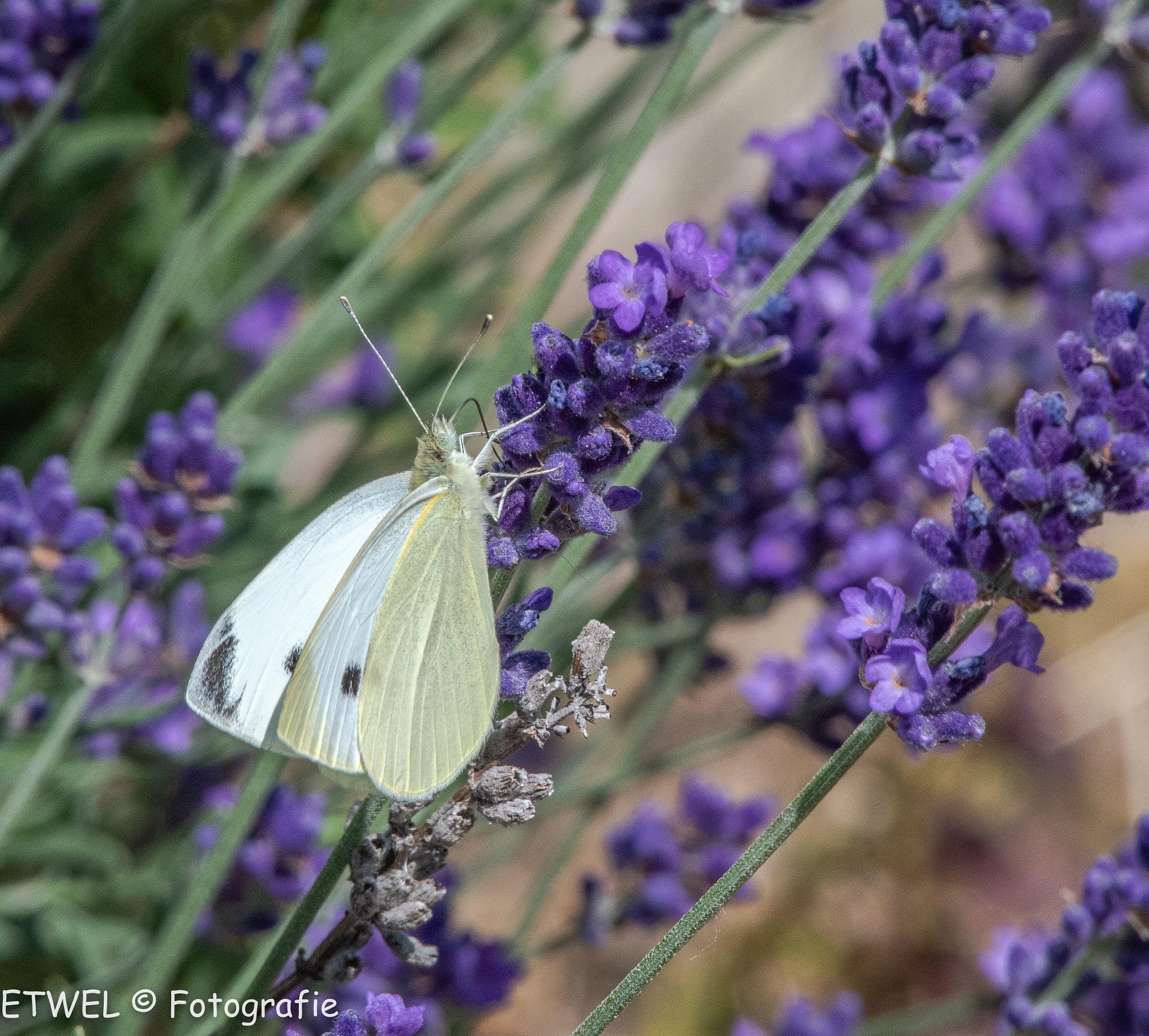 Cabbage white on lavender by        ETWEL © Fotografie