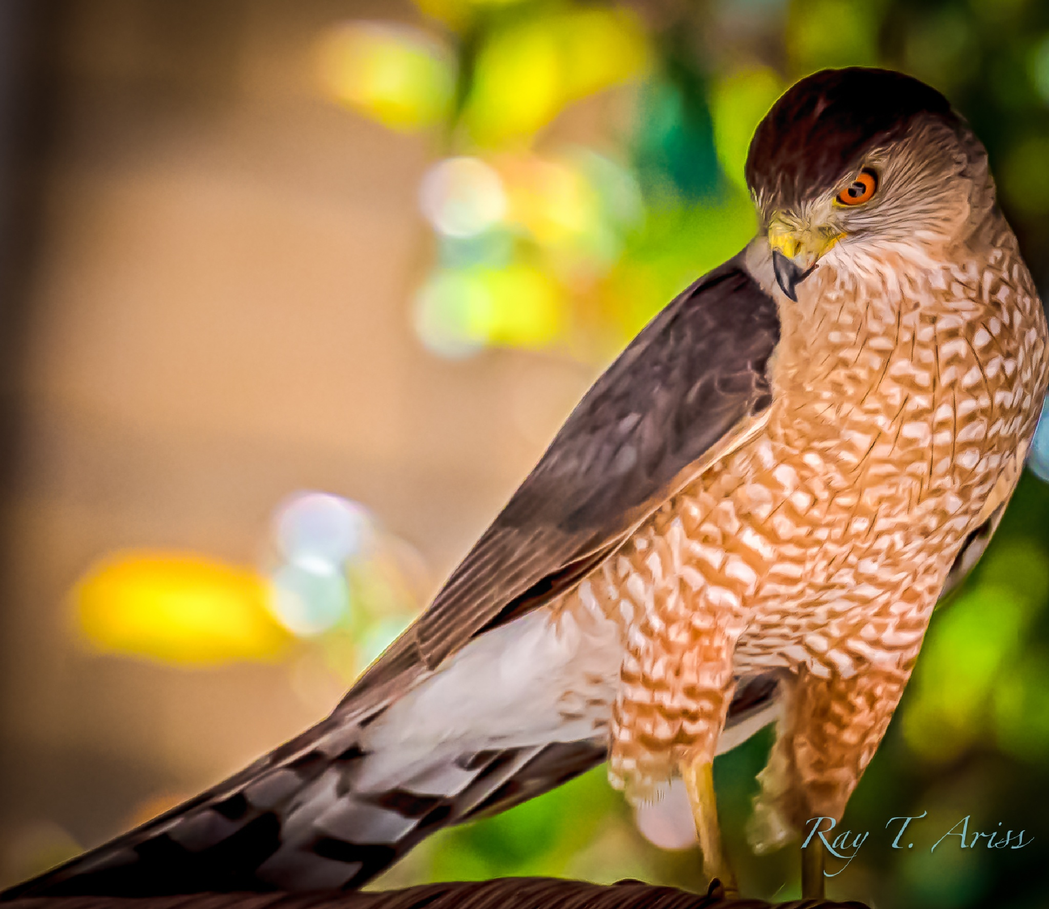 Cooper's Hawk by rayariss