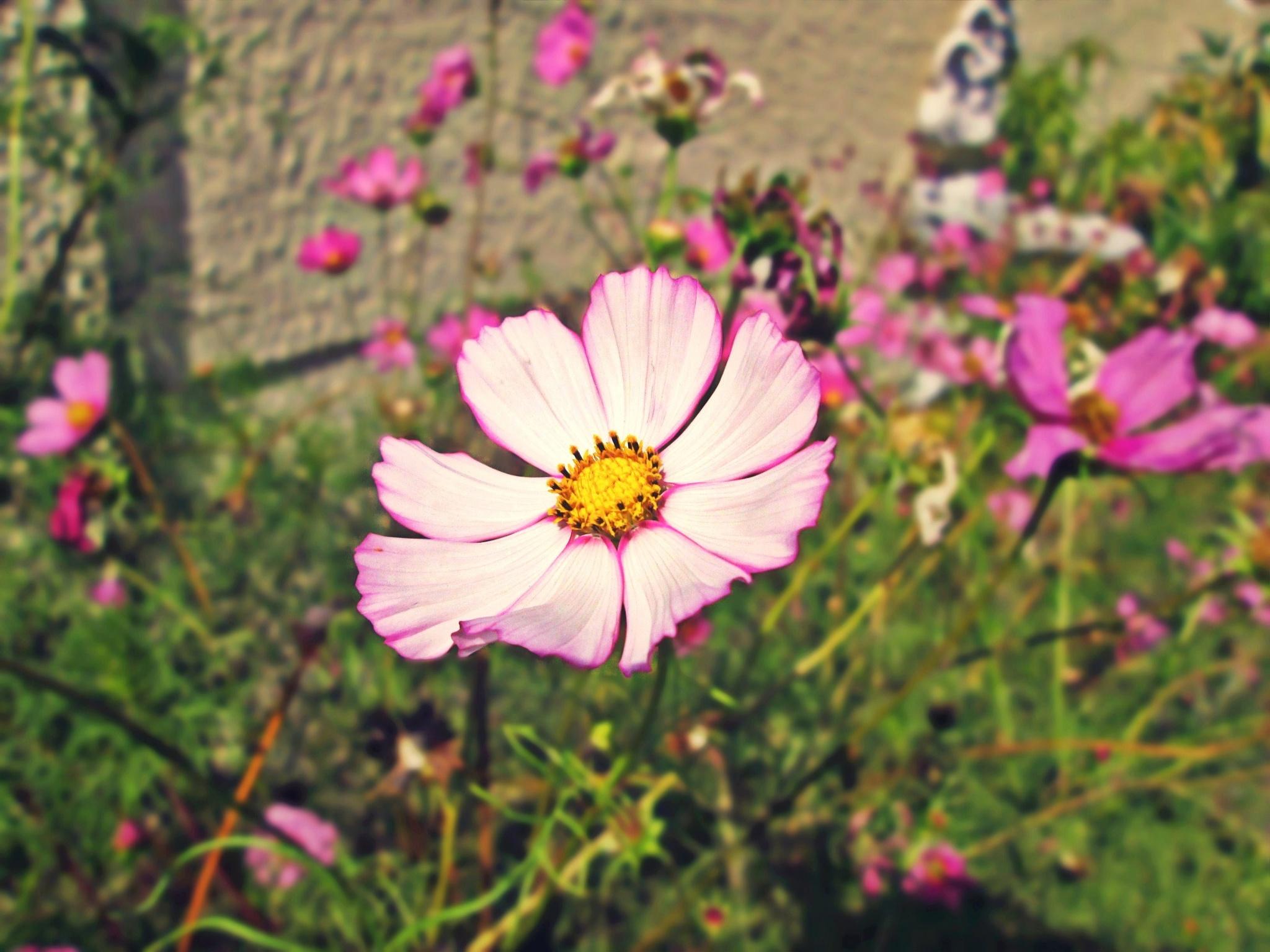 Photo in Nature #flower #cosmos flower #cosmos #garden #nature #macro #colour #purple