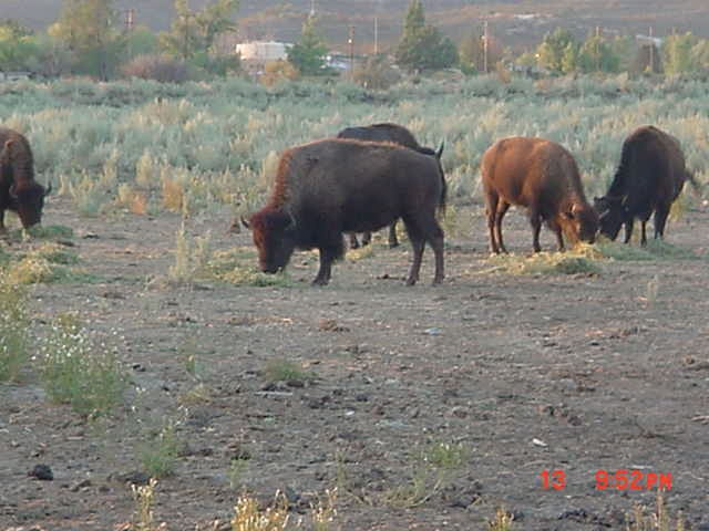 Photo in Random #buffalo #animal #grazing #usa