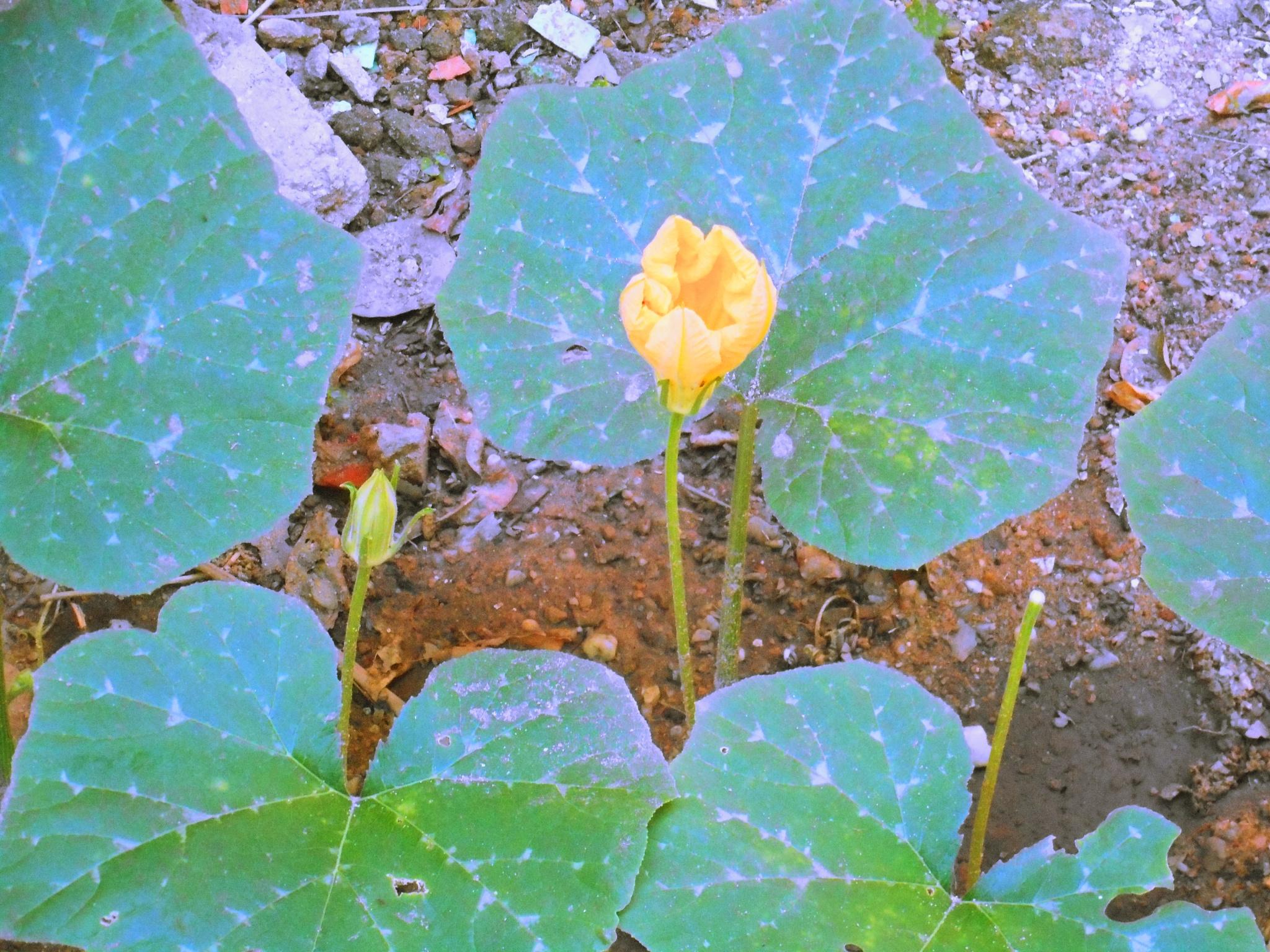 Pumpkin Plant & Blossoms by Elmer Leach