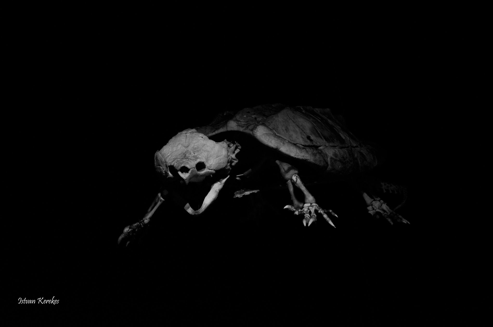 Snapping turtle skeleton by ReptileMan