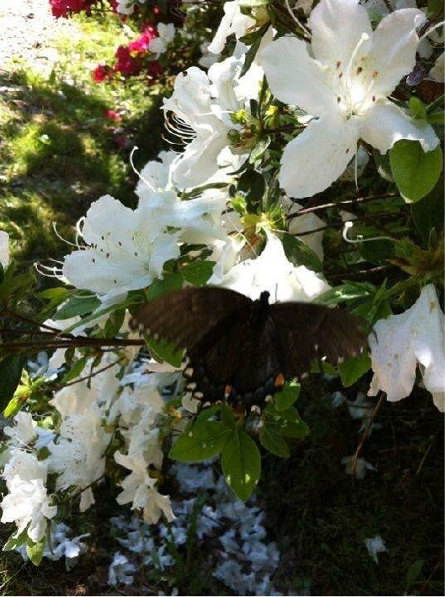 Butterfly on Azalea  by Hancock Photography