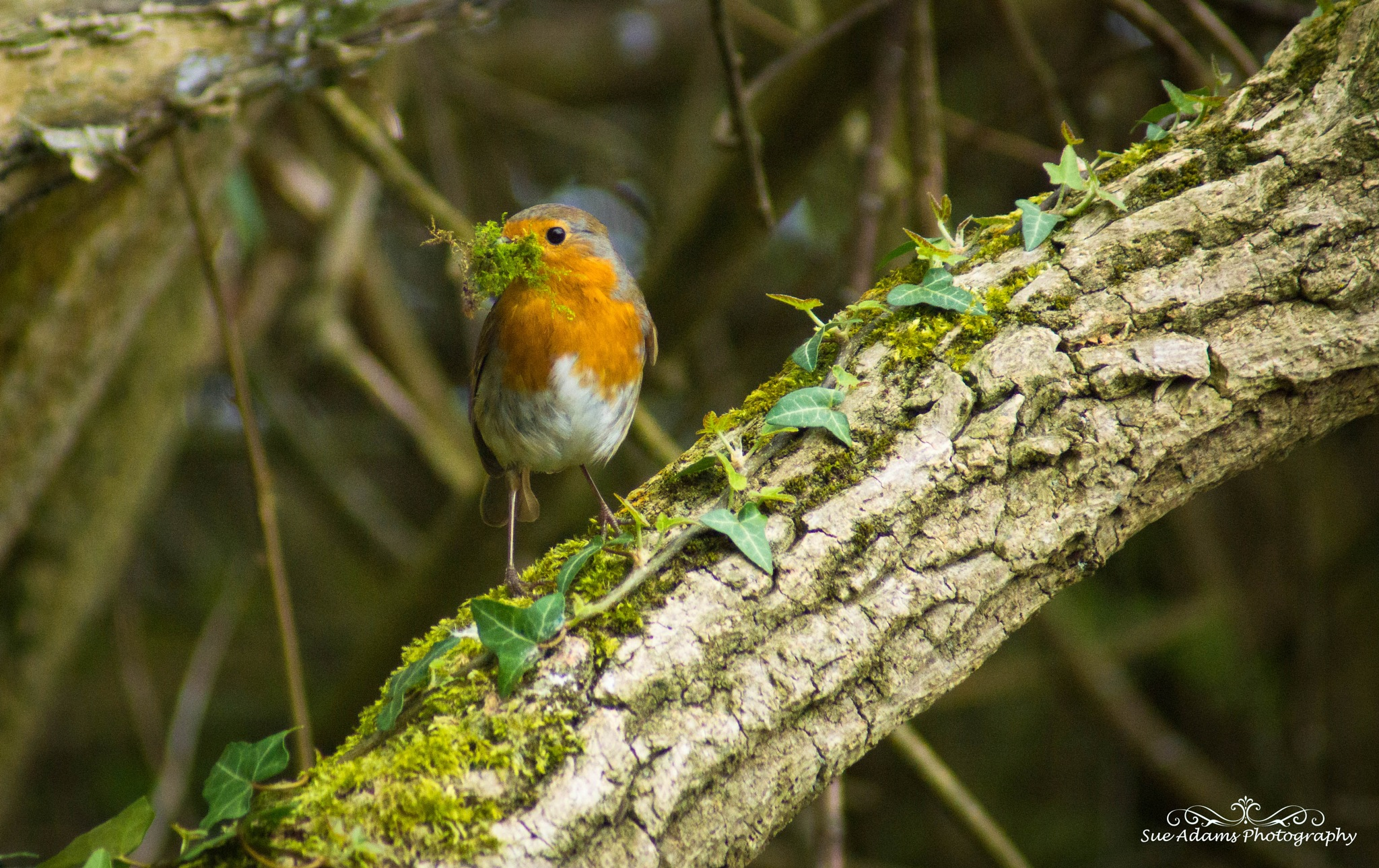 nesting robin by Sue Adams Photography