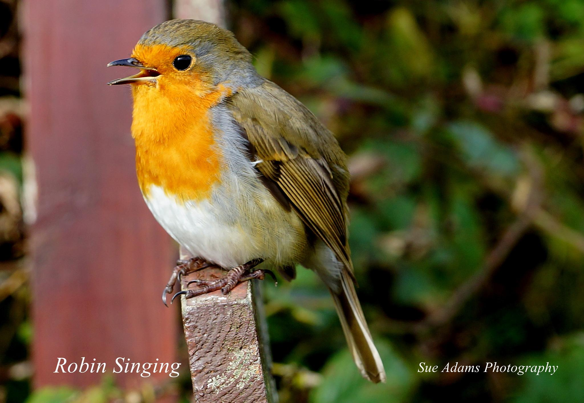 Robin Singing by Sue Adams Photography