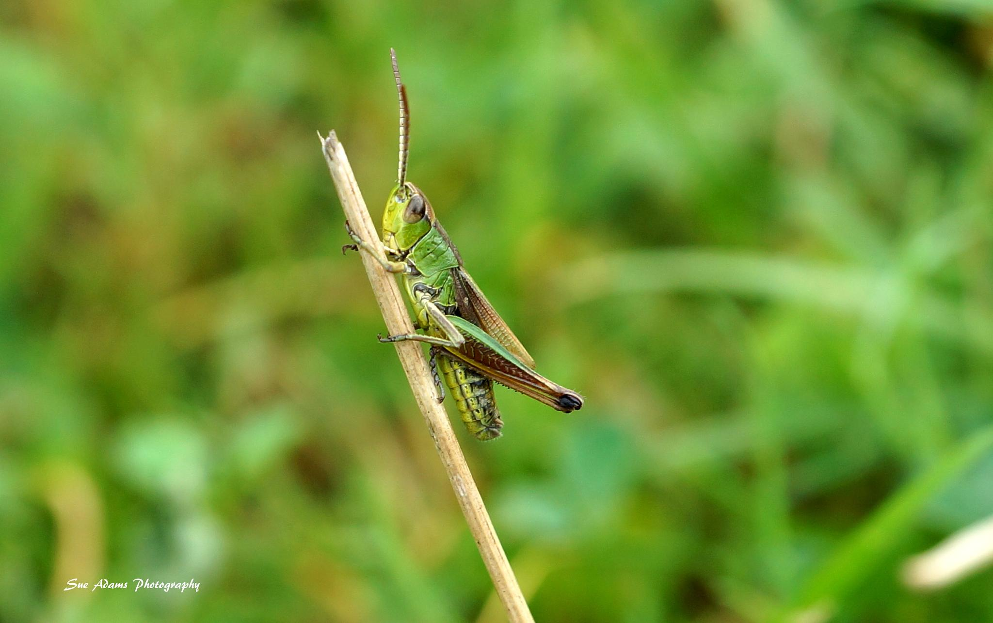Grasshopper by Sue Adams Photography