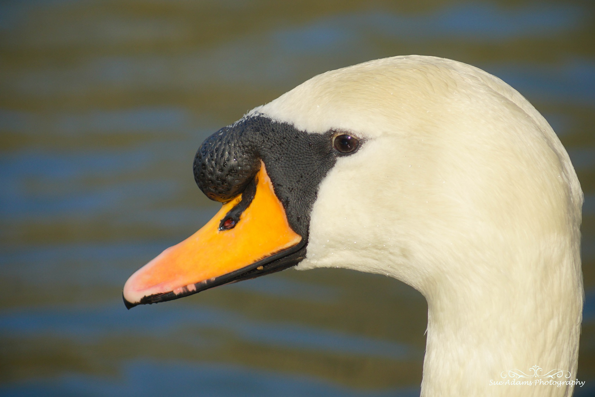 male swan head shot by Sue Adams Photography