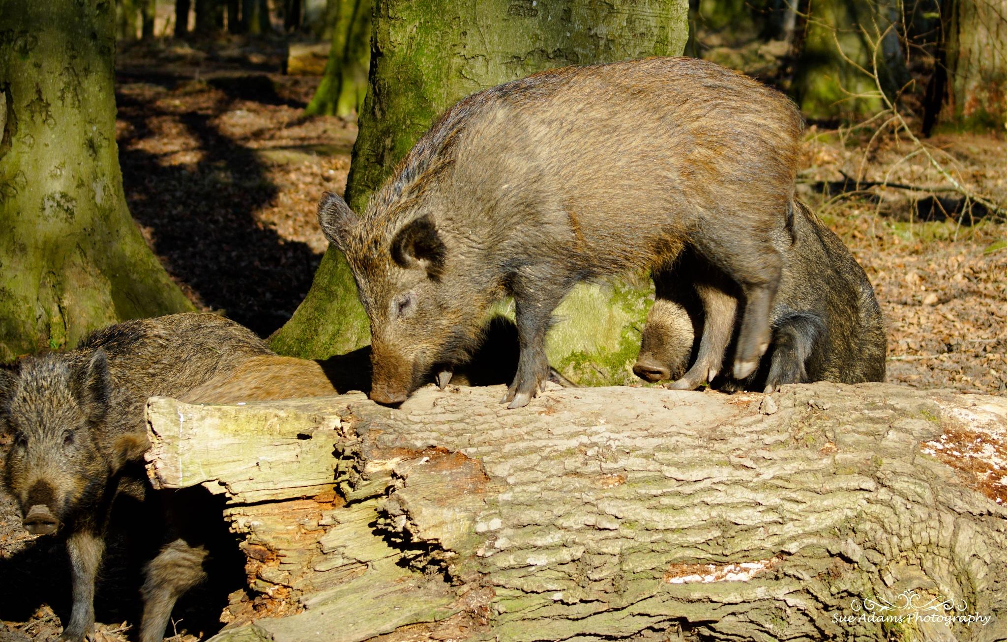 climbing wild boar by Sue Adams Photography