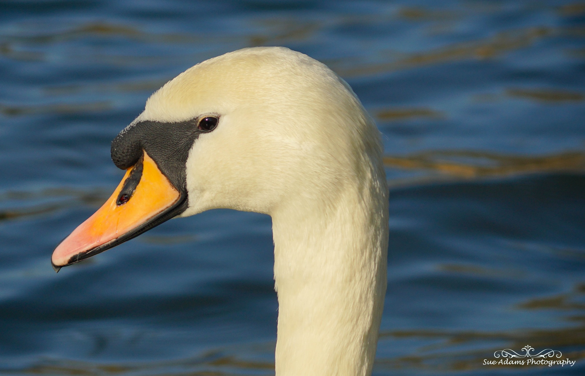 female swan head shot by Sue Adams Photography