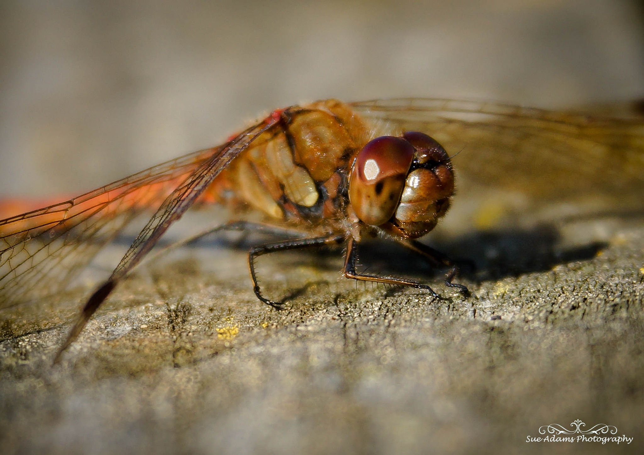 dragonfly head by Sue Adams Photography