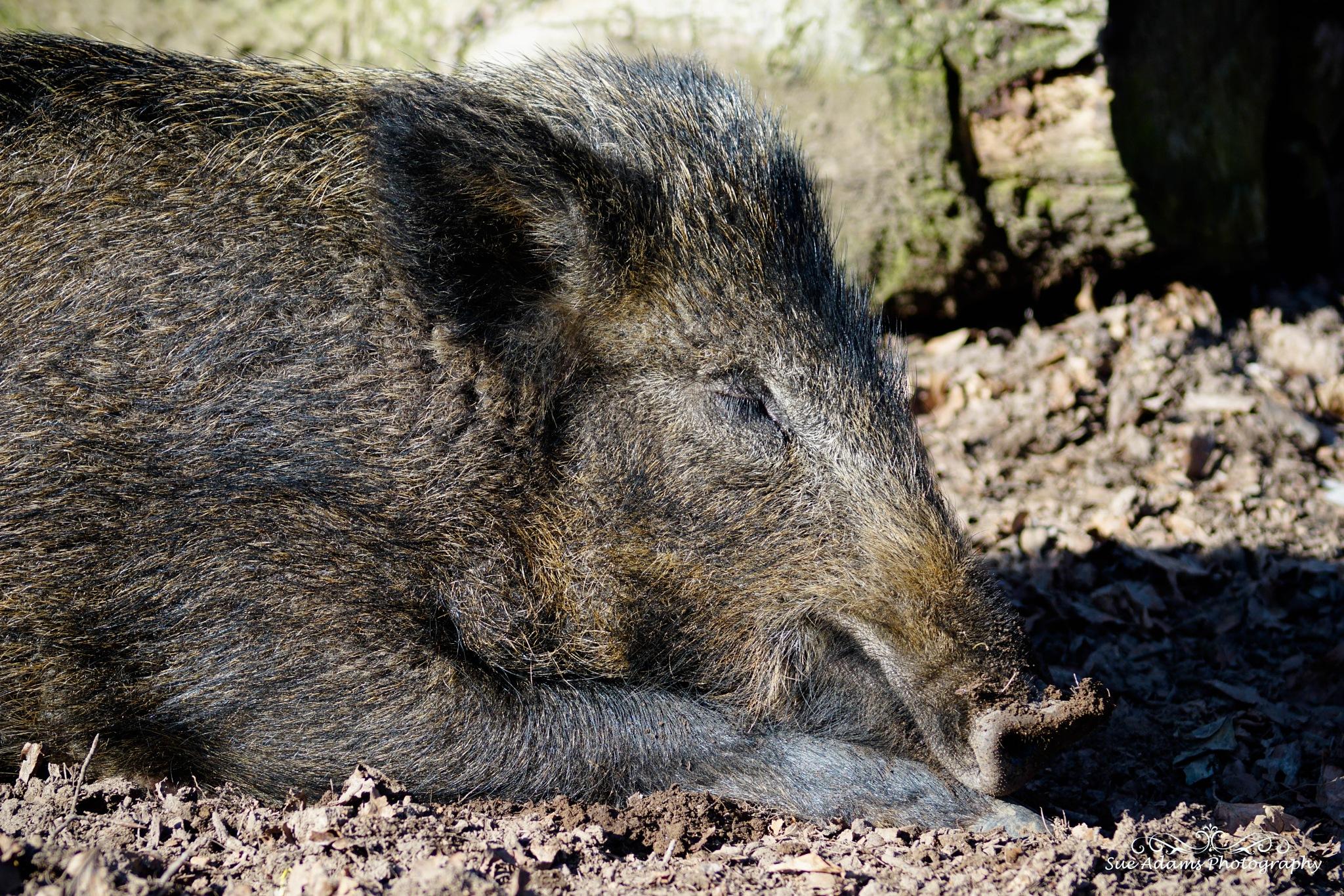 sleeping boar by Sue Adams Photography