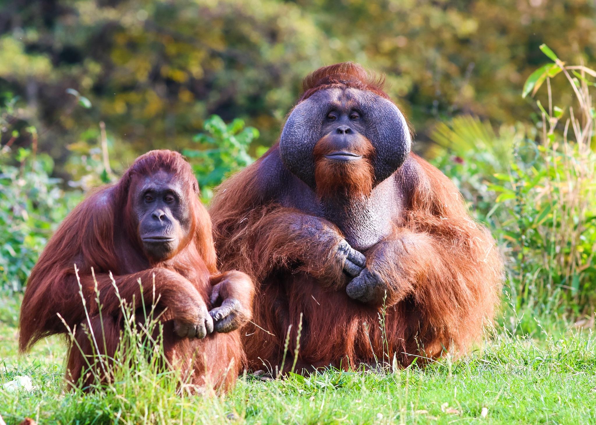 Orangutans by Sinead