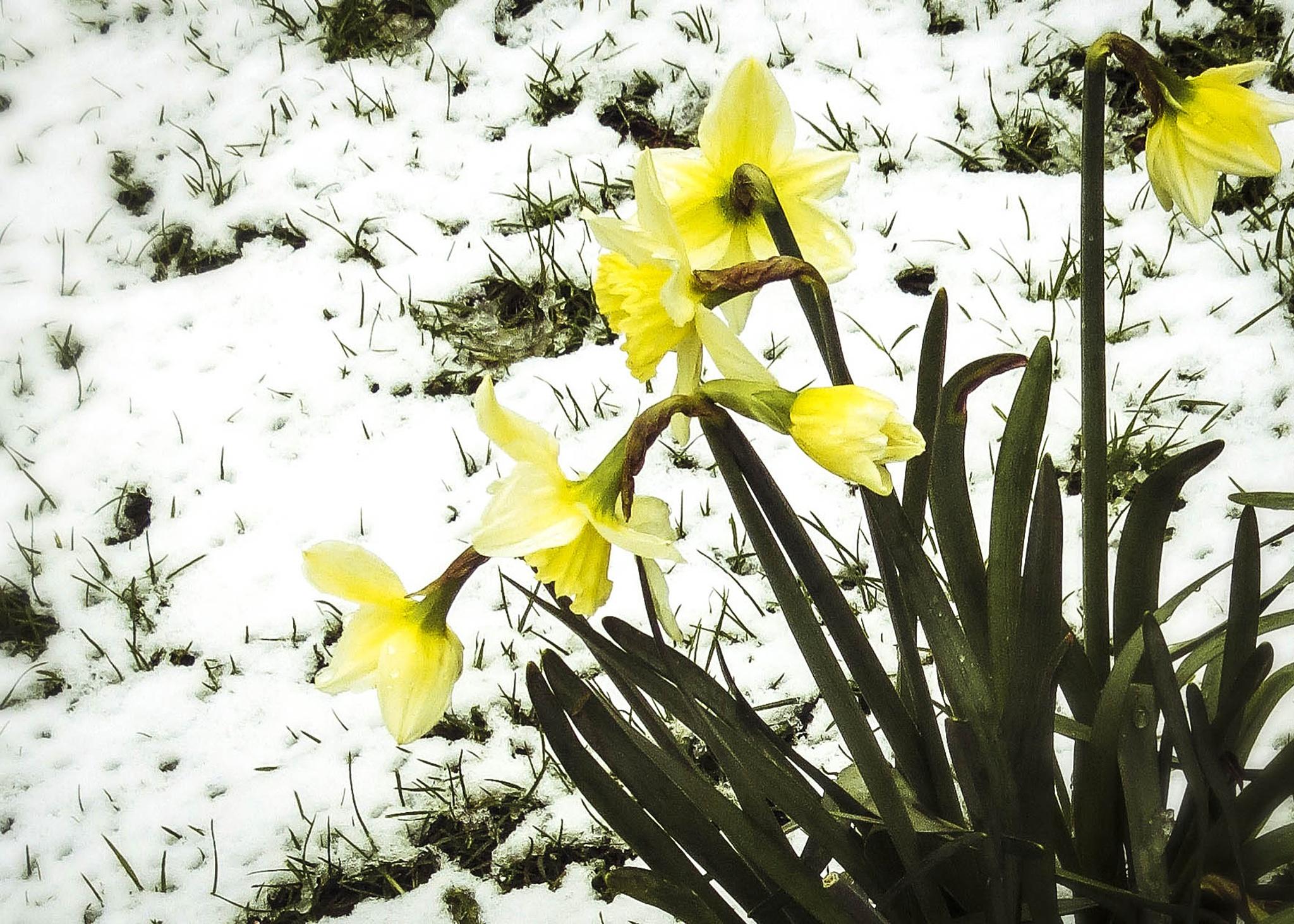 Snowy Daffodils by Sinead